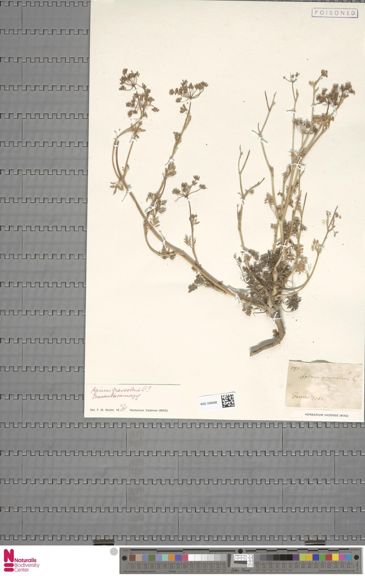 WAG.1846488   Apium graveolens L.