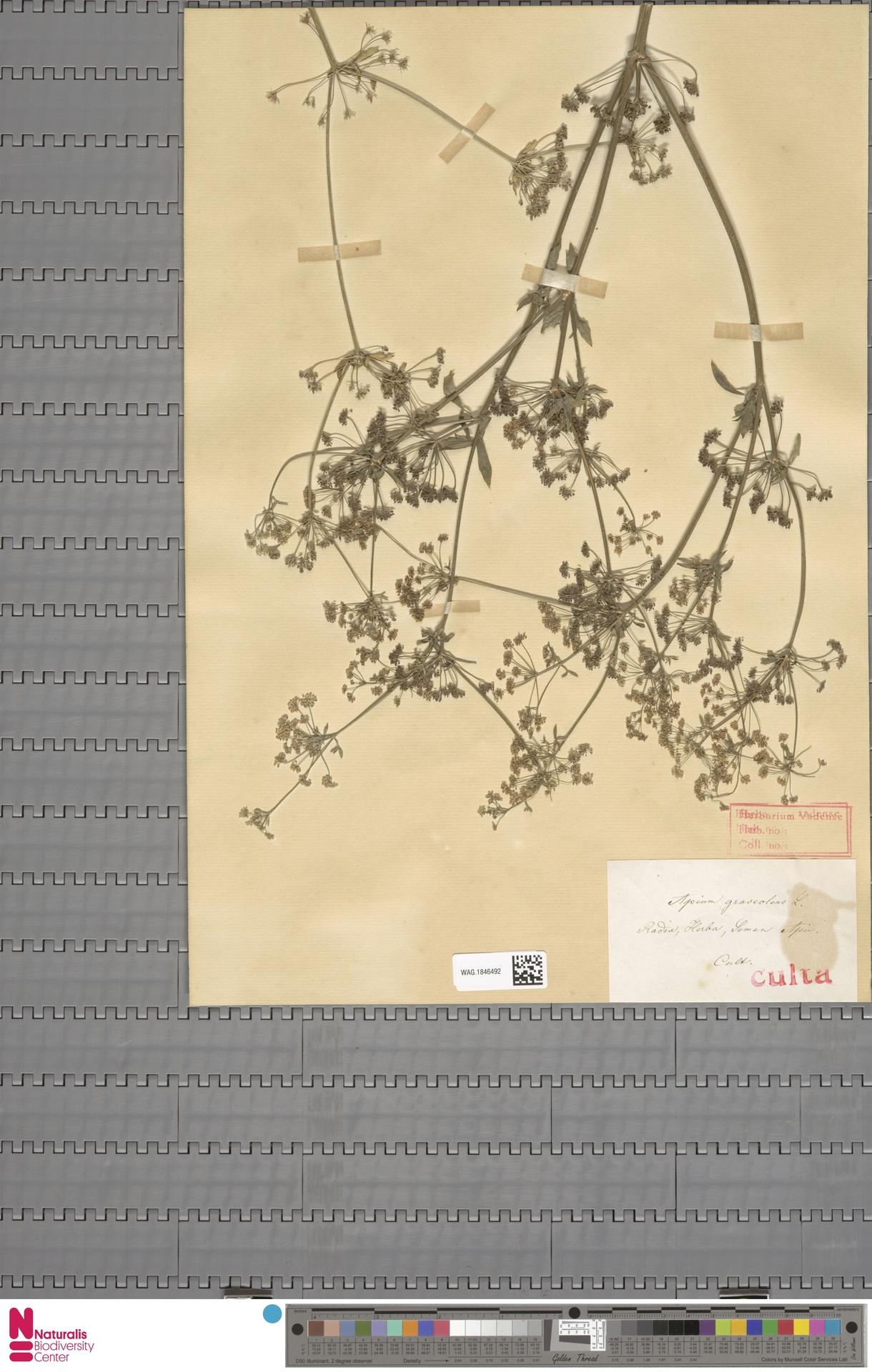 WAG.1846492 | Apium graveolens L.