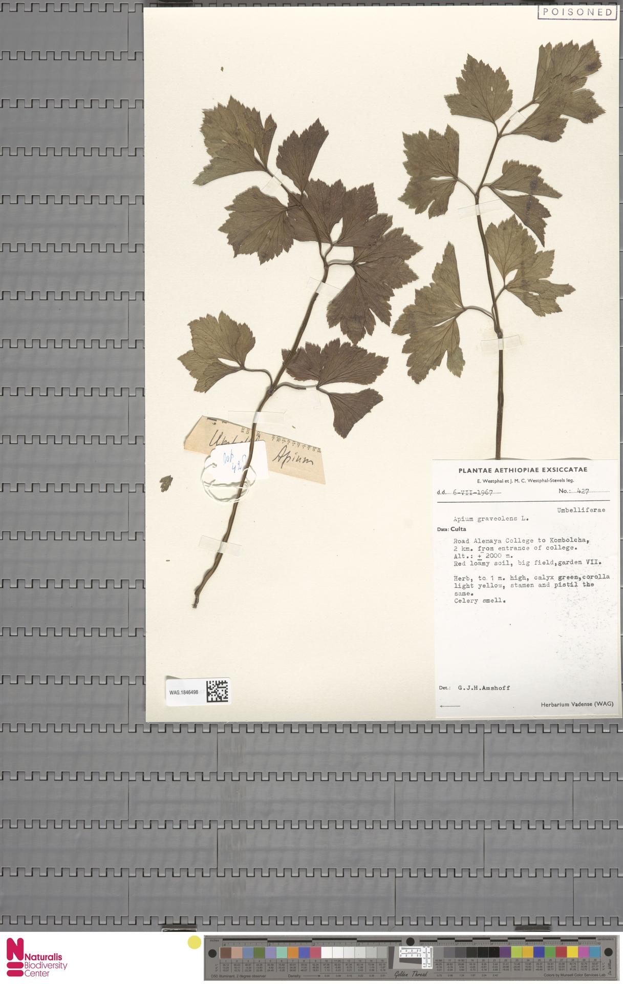 WAG.1846498 | Apium graveolens L.