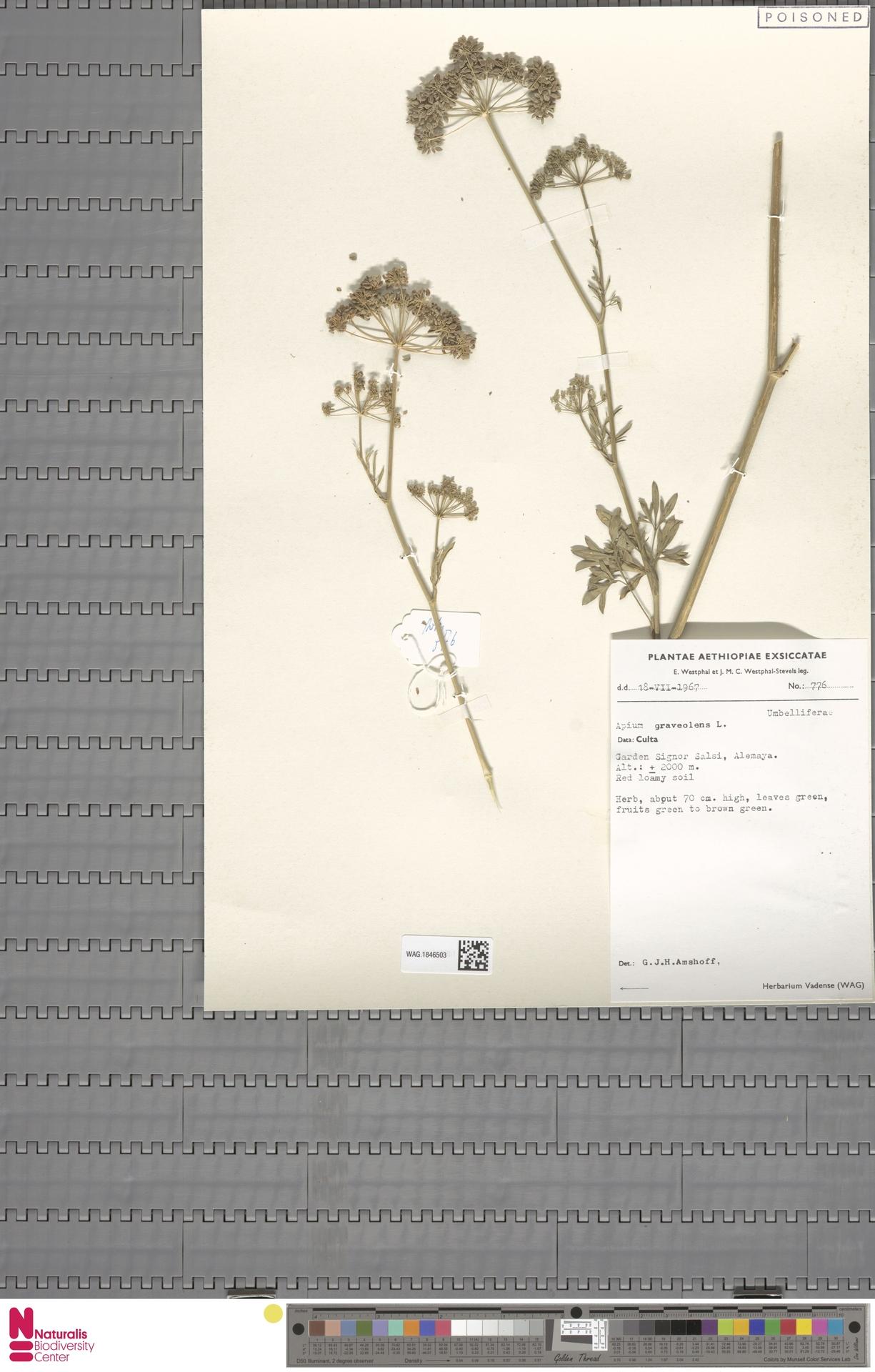 WAG.1846503 | Apium graveolens L.