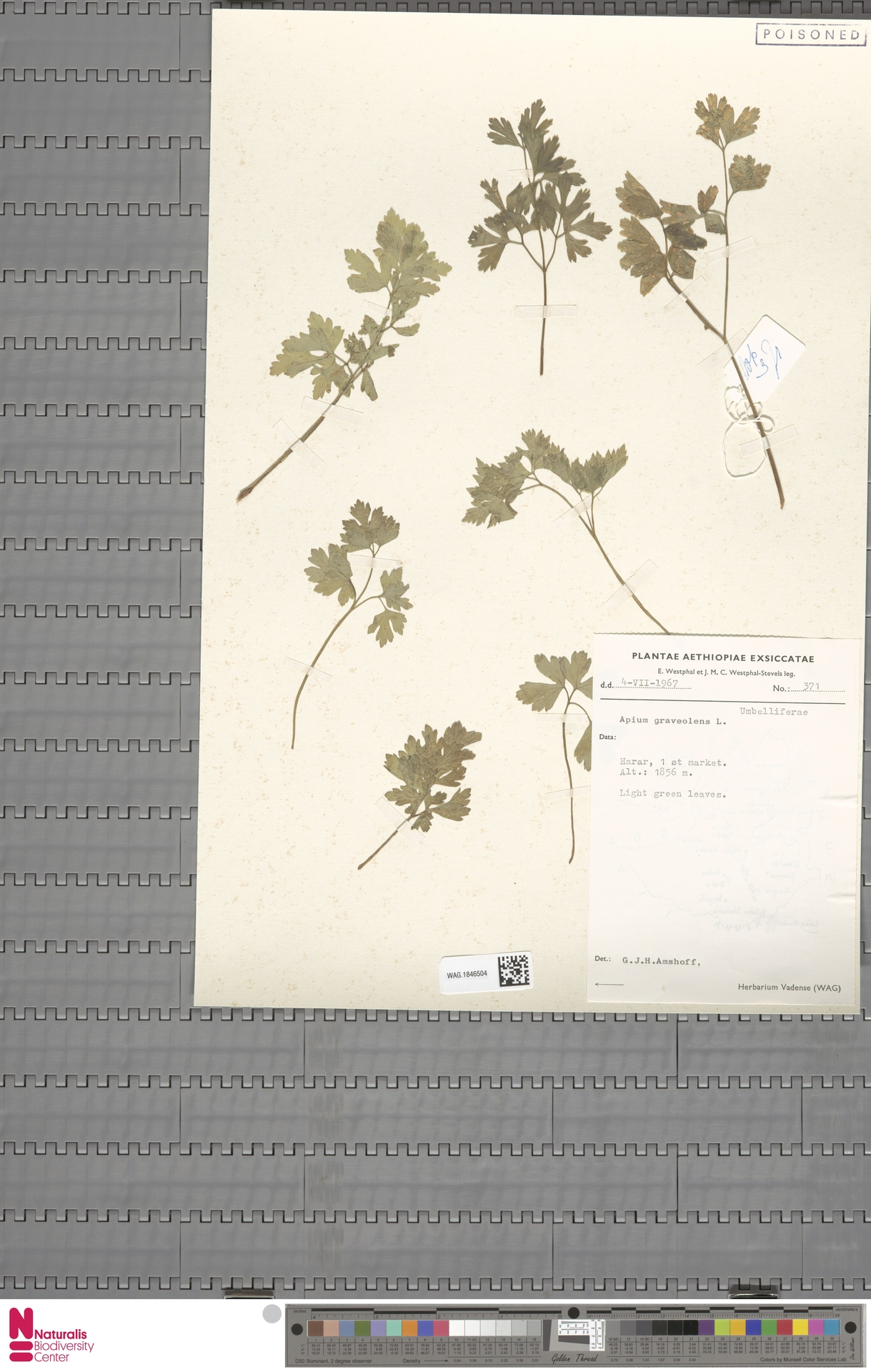 WAG.1846504 | Apium graveolens L.