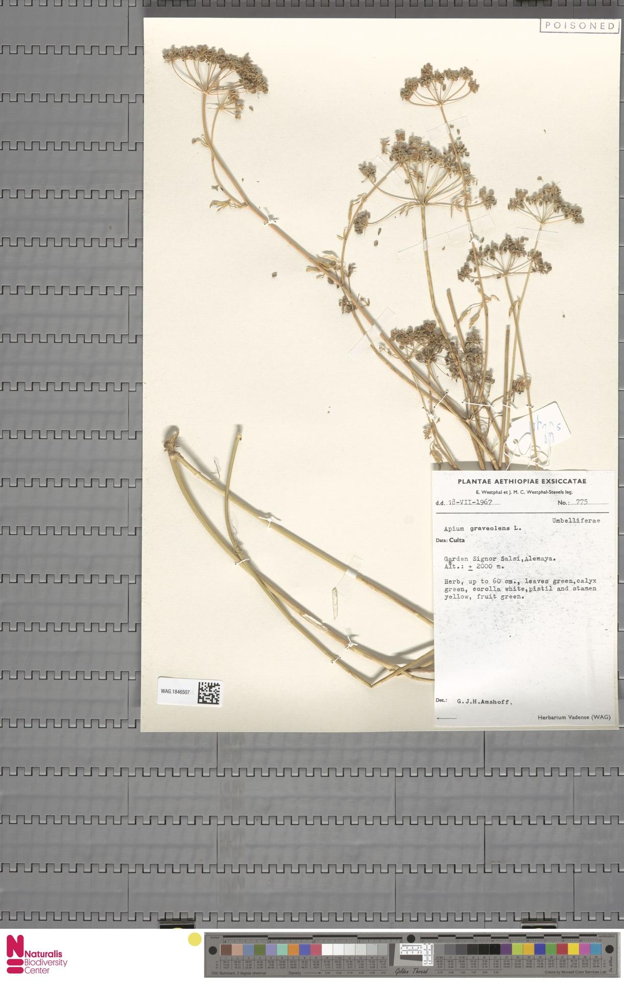 WAG.1846507 | Apium graveolens L.