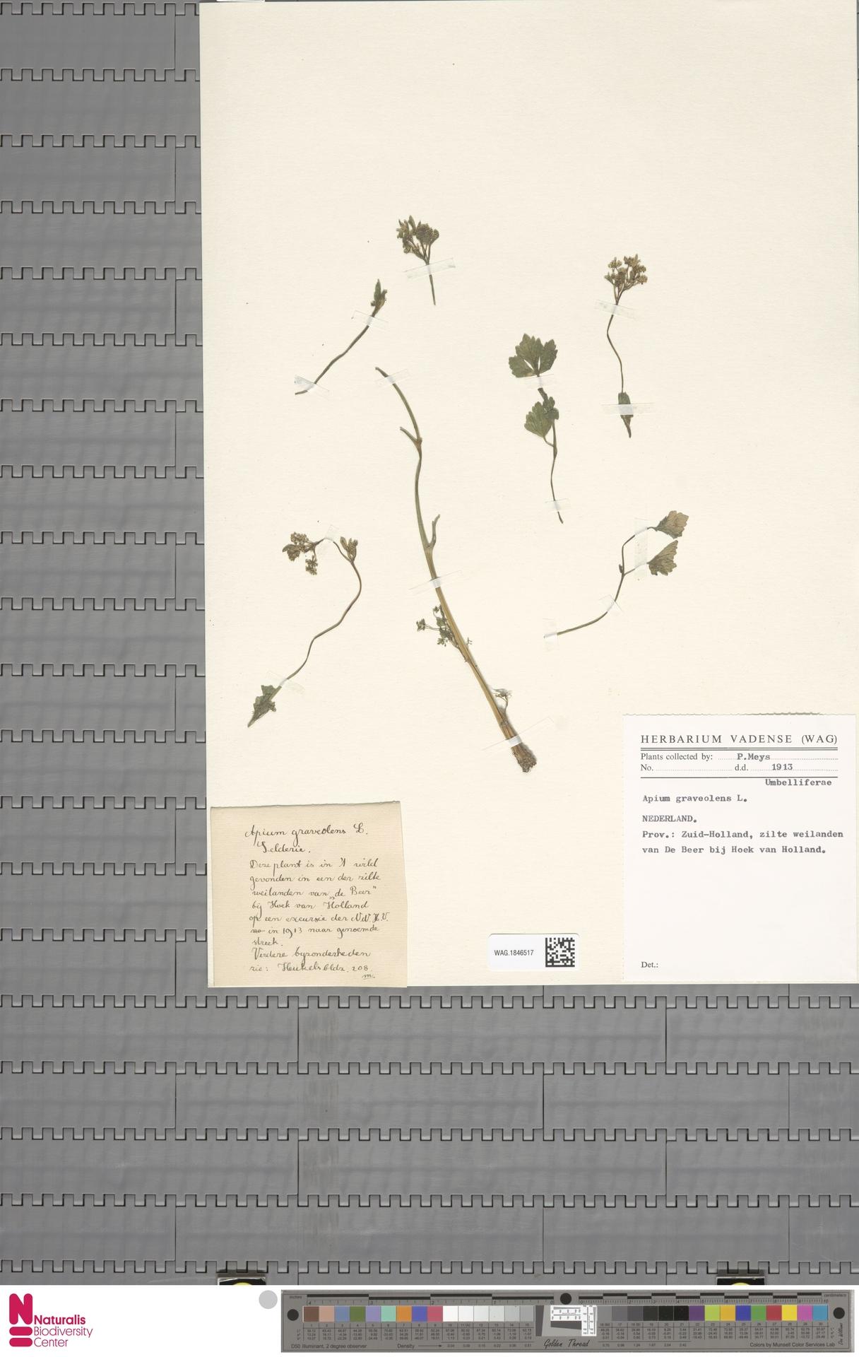 WAG.1846517   Apium graveolens L.