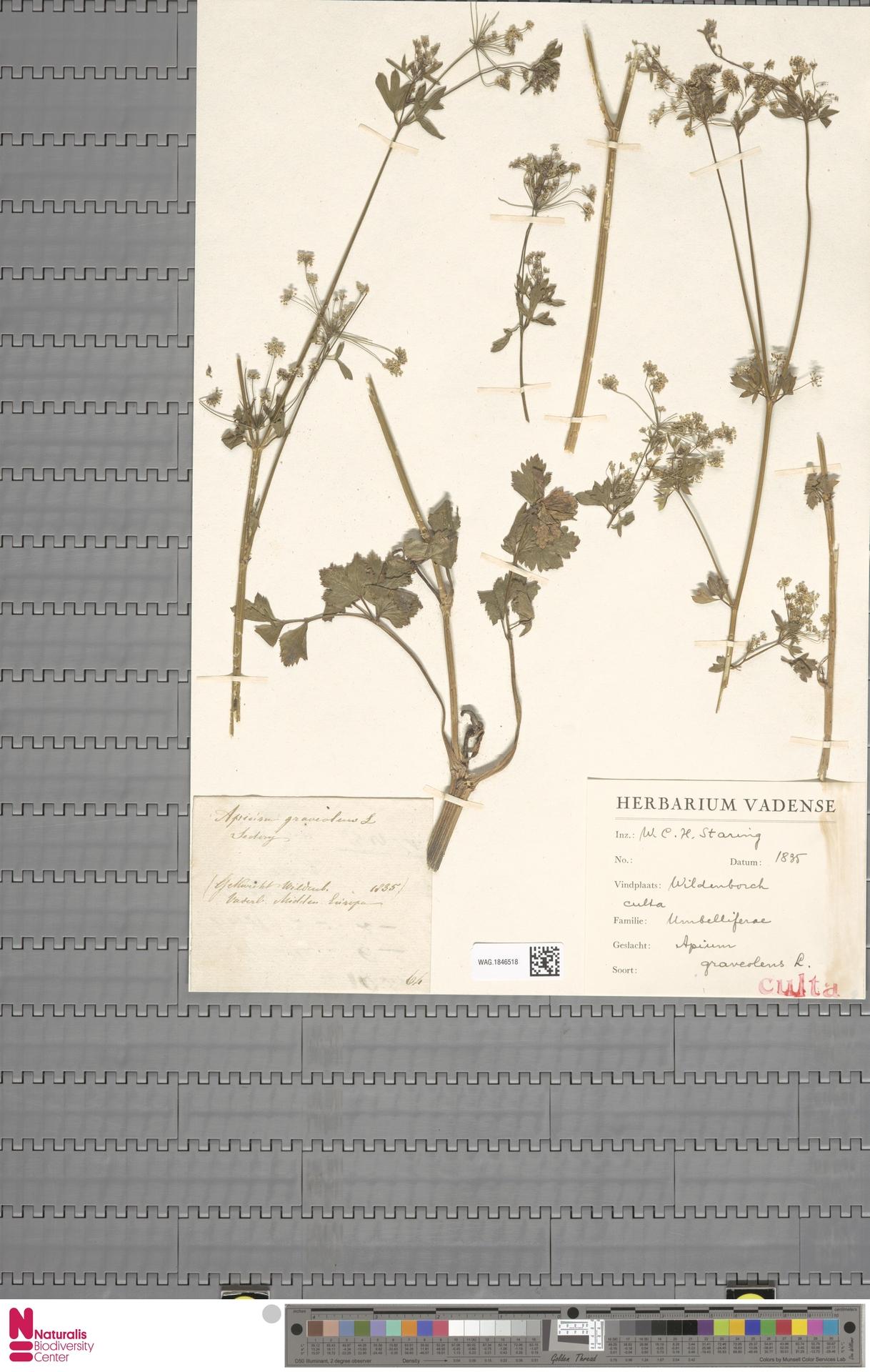 WAG.1846518 | Apium graveolens L.