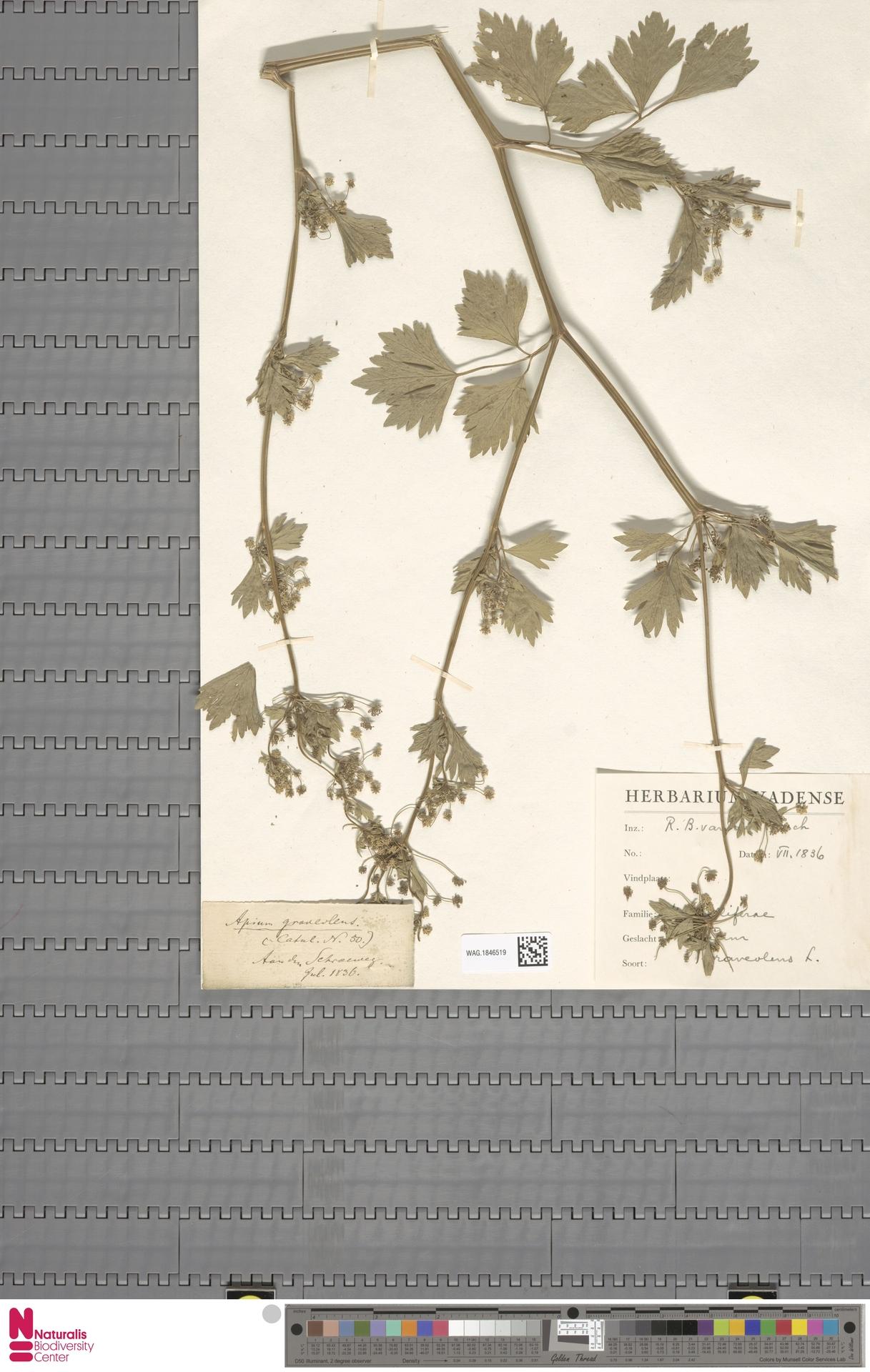 WAG.1846519 | Apium graveolens L.