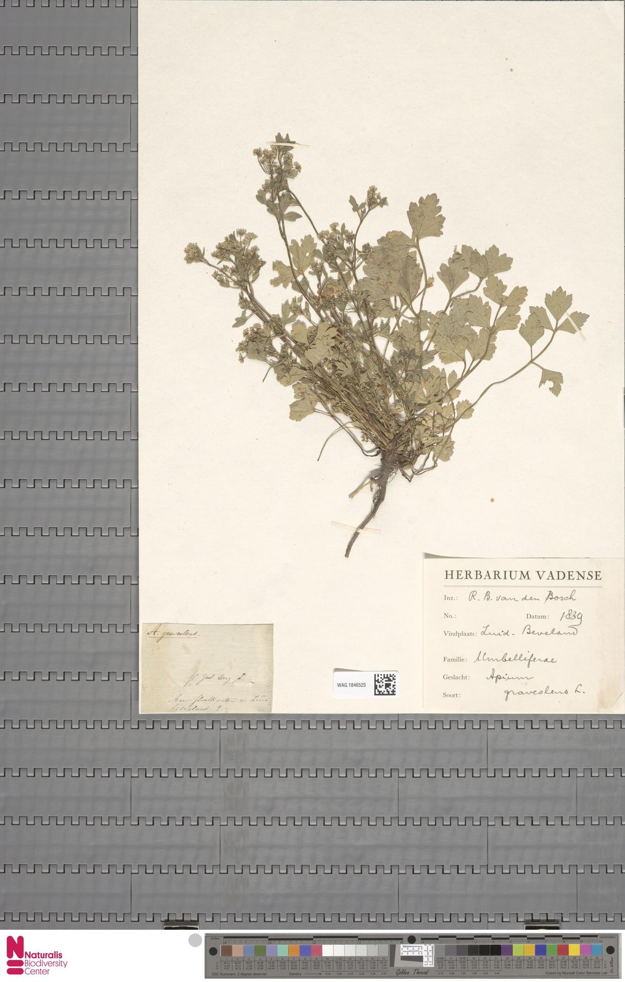 WAG.1846525 | Apium graveolens L.