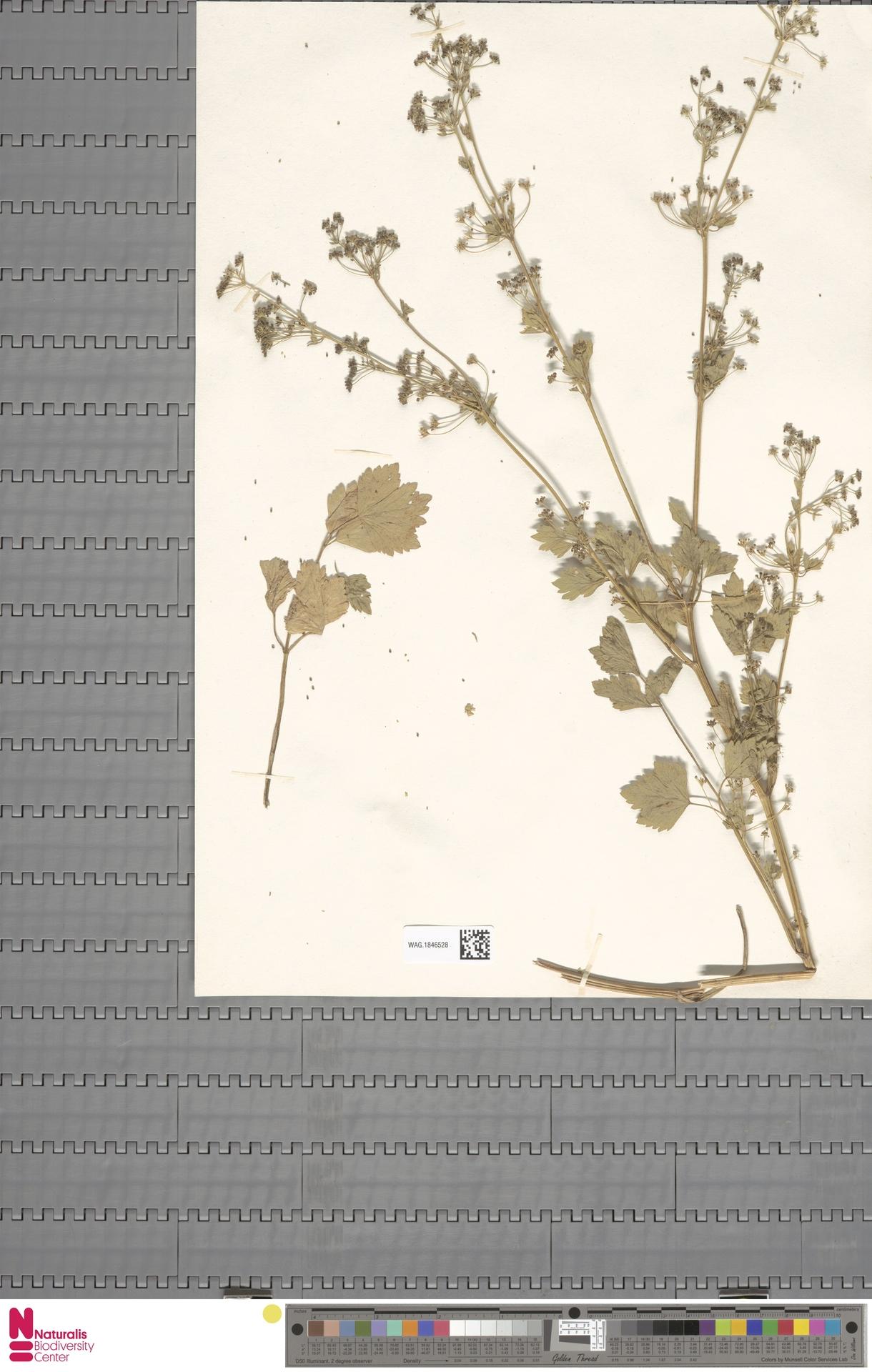 WAG.1846528 | Apium graveolens L.