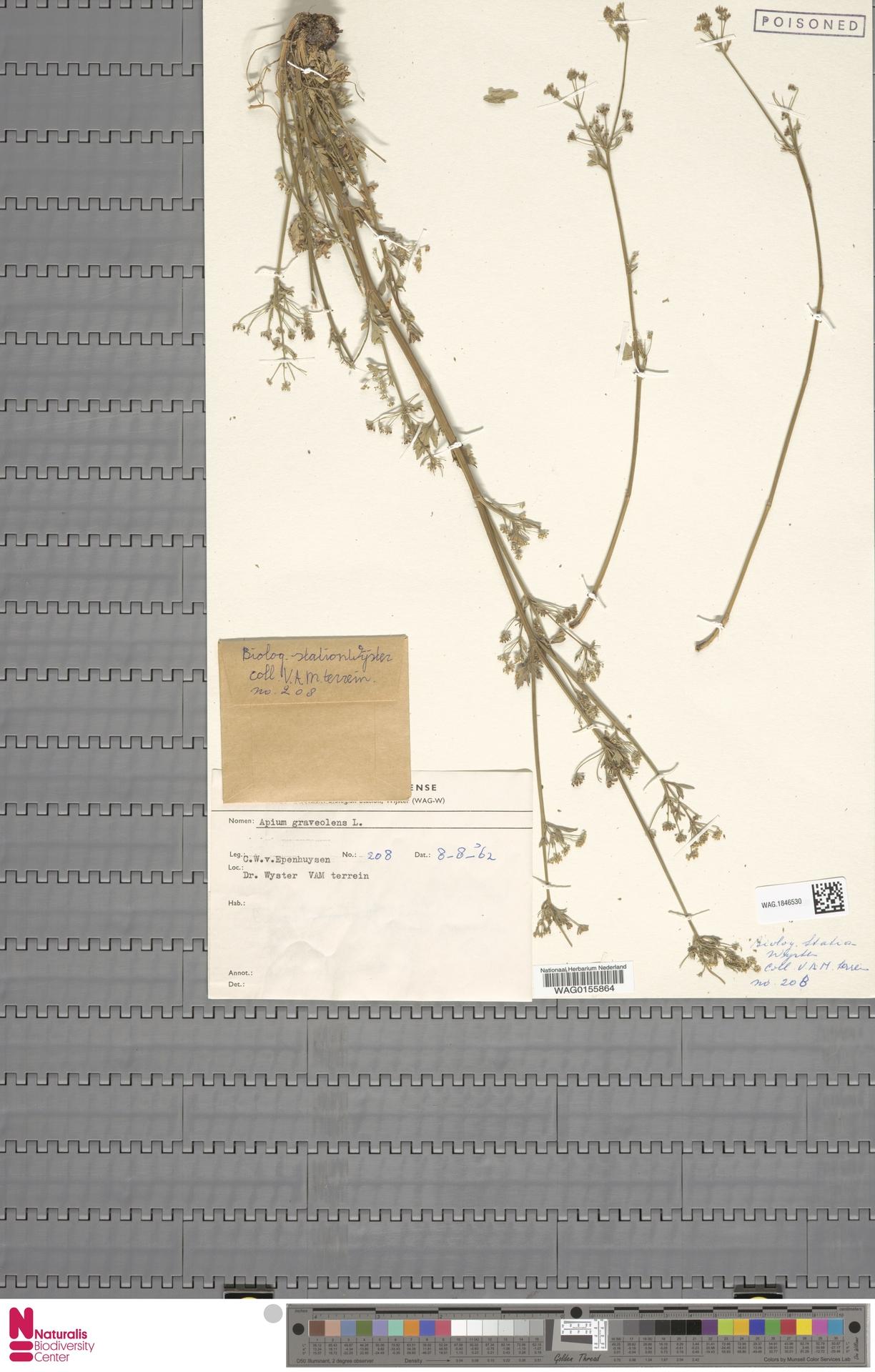 WAG.1846530   Apium graveolens L.