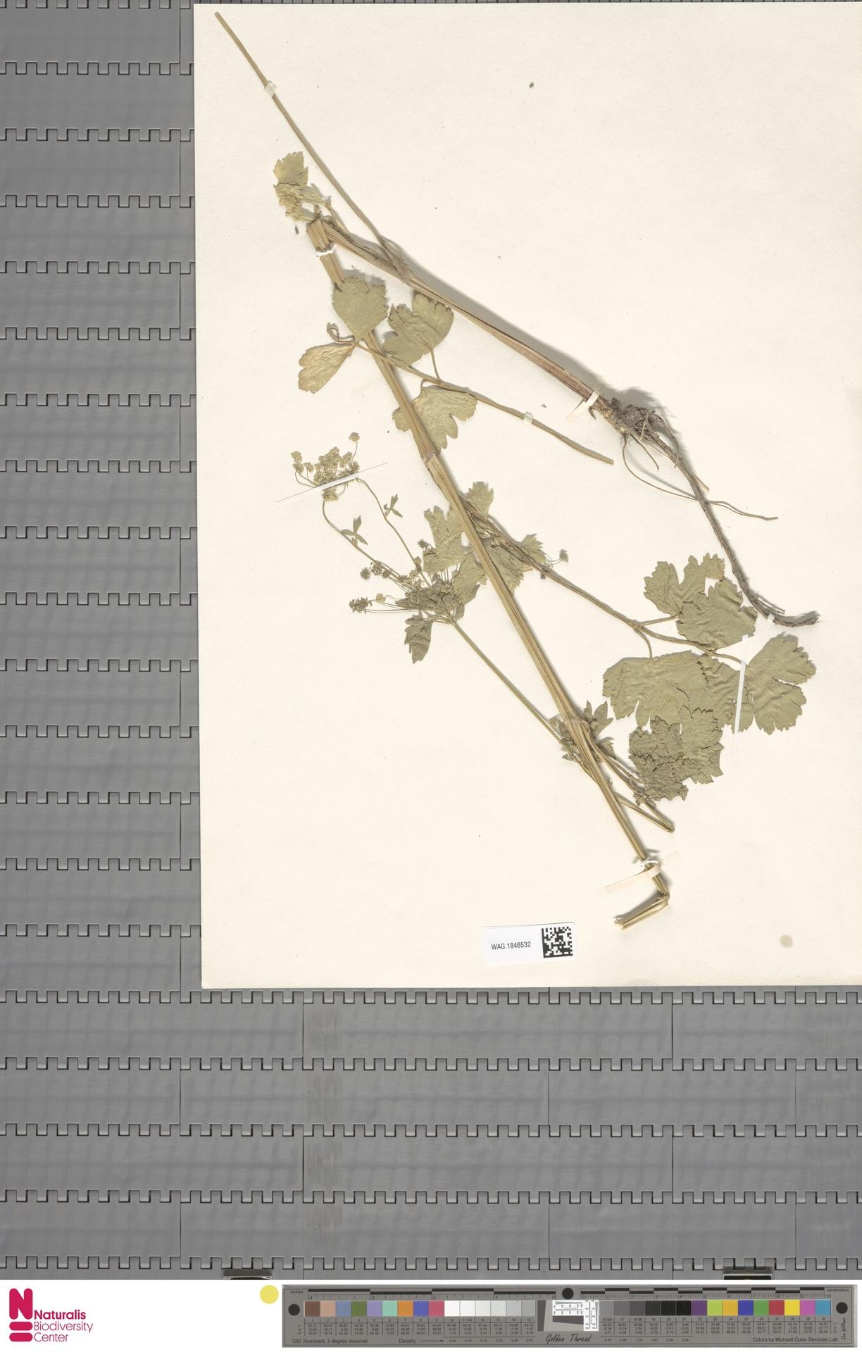 WAG.1846532 | Apium graveolens L.