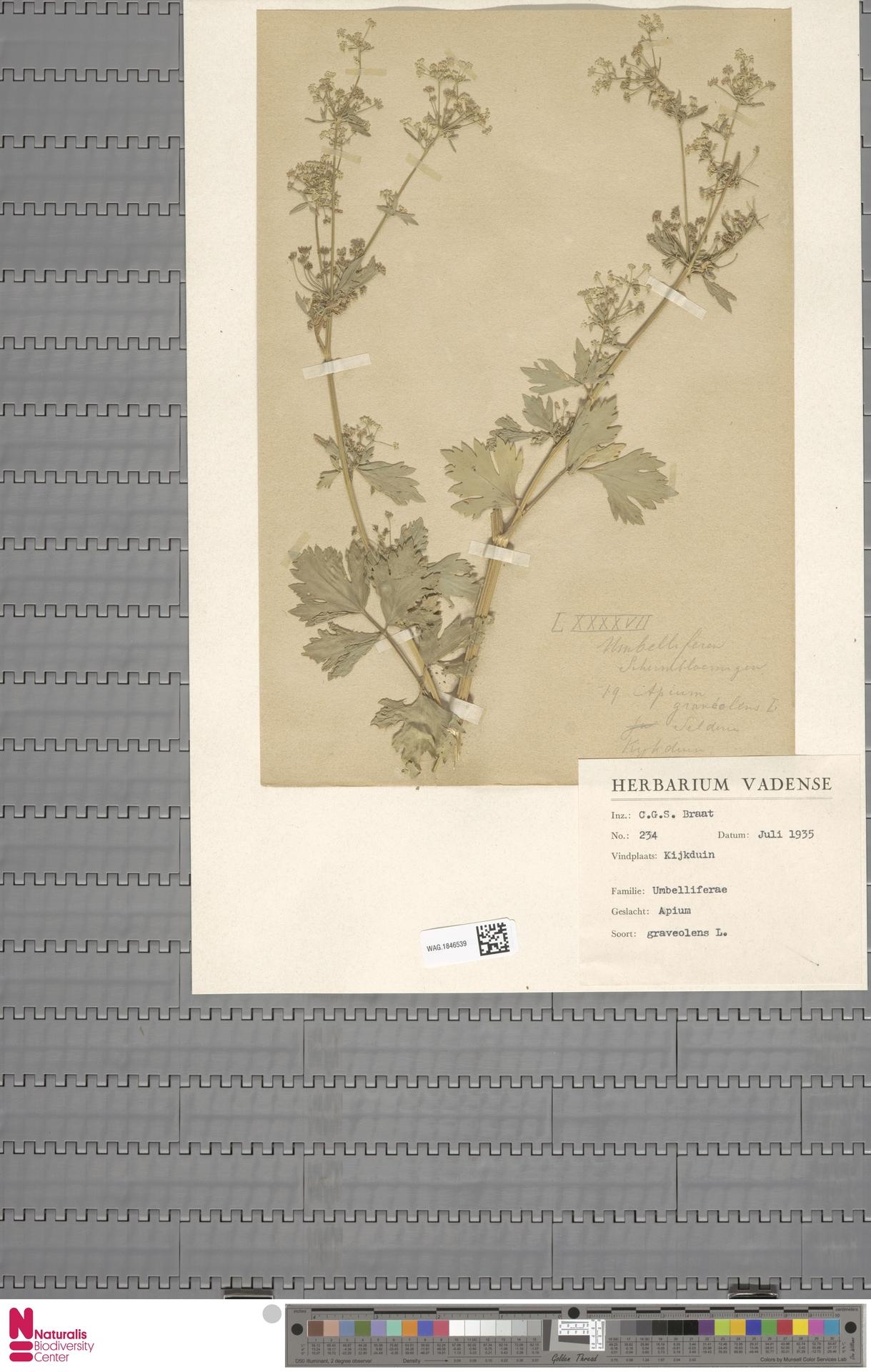 WAG.1846539 | Apium graveolens L.
