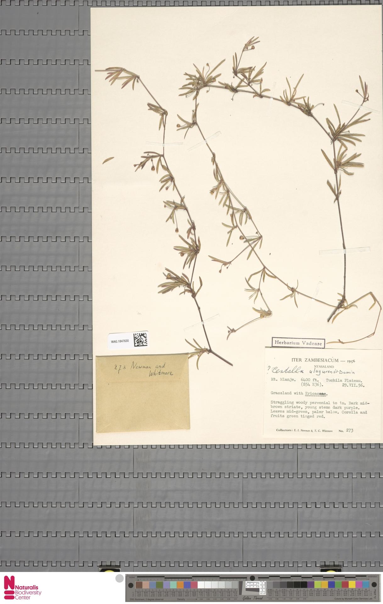 WAG.1847630 | Centella ulugurensis (Engl.) Domin