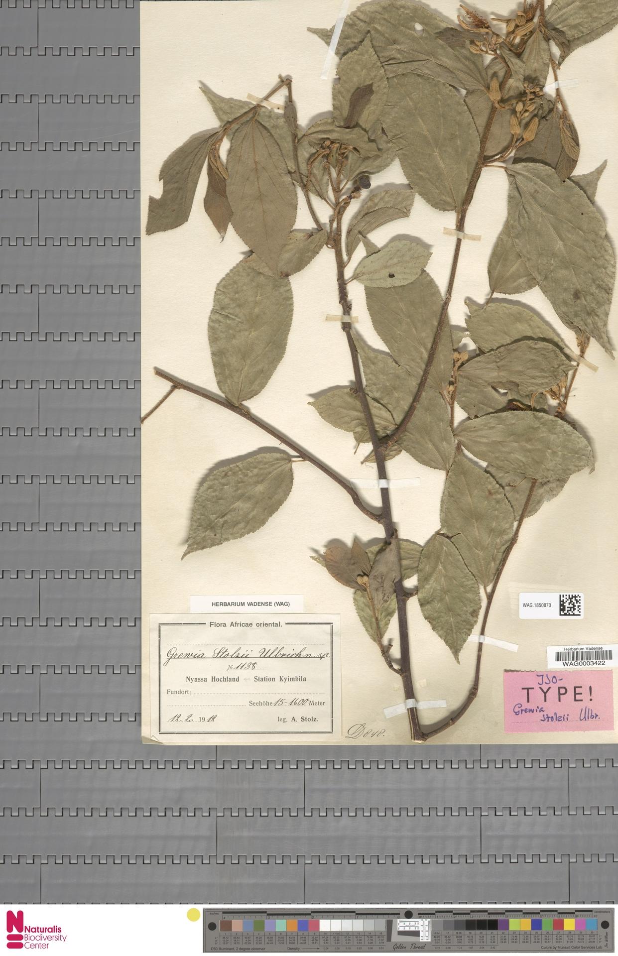 WAG.1850870   Grewia stolzii Ulbr.