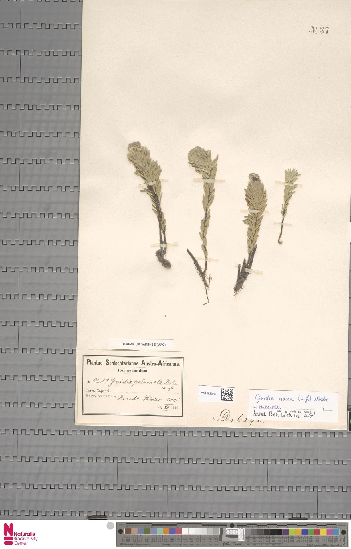 WAG.1855041 | Gnidia nana (L.f.) Wikstr.
