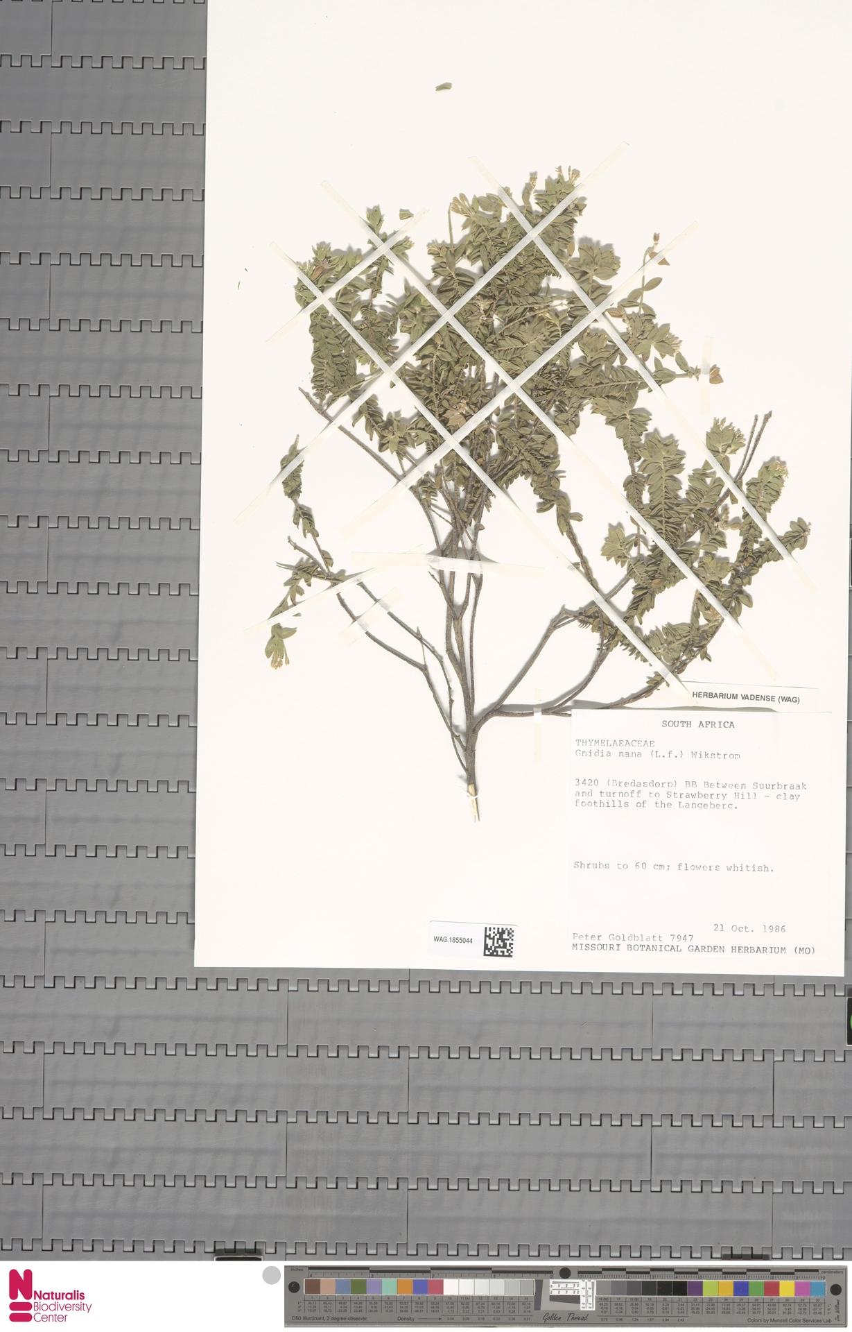 WAG.1855044 | Gnidia nana (L.f.) Wikstr.