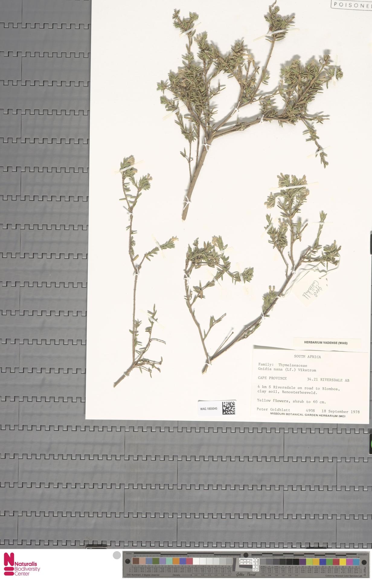 WAG.1855045 | Gnidia nana (L.f.) Wikstr.