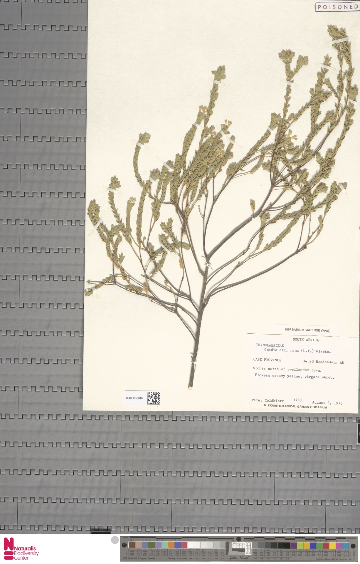 WAG.1855046 | Gnidia nana (L.f.) Wikstr.