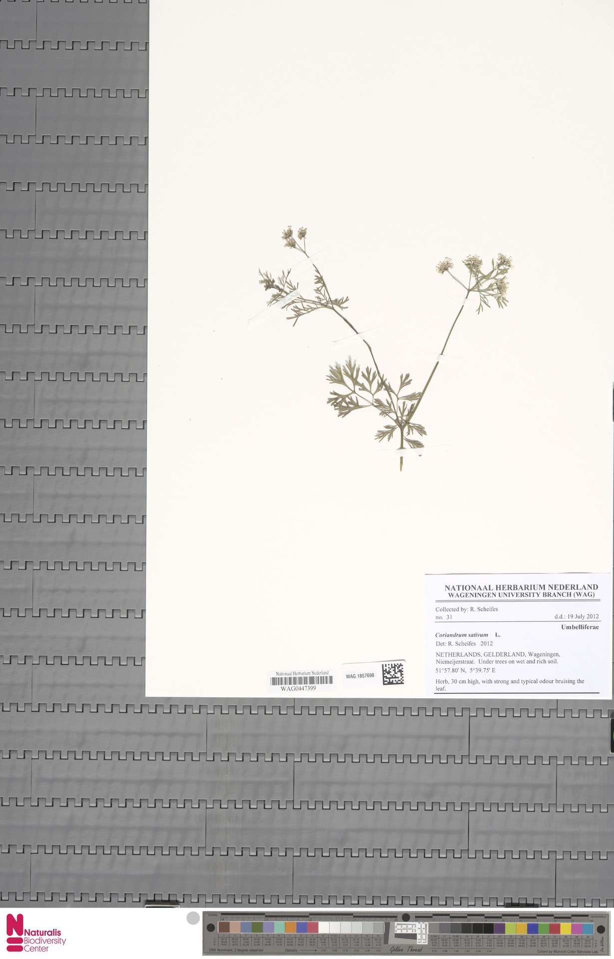 WAG.1857698 | Coriandrum sativum L.