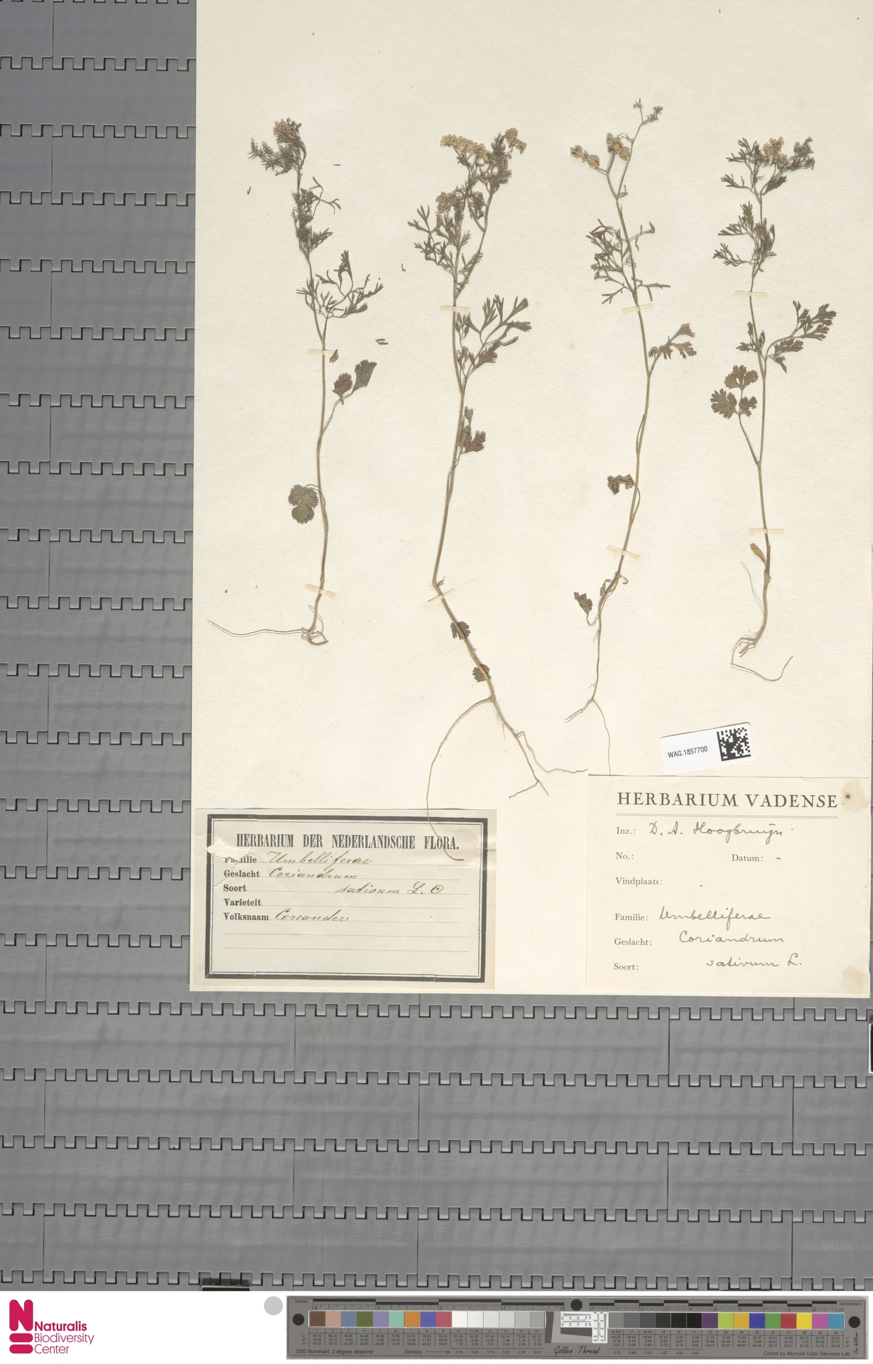 WAG.1857700 | Coriandrum sativum L.