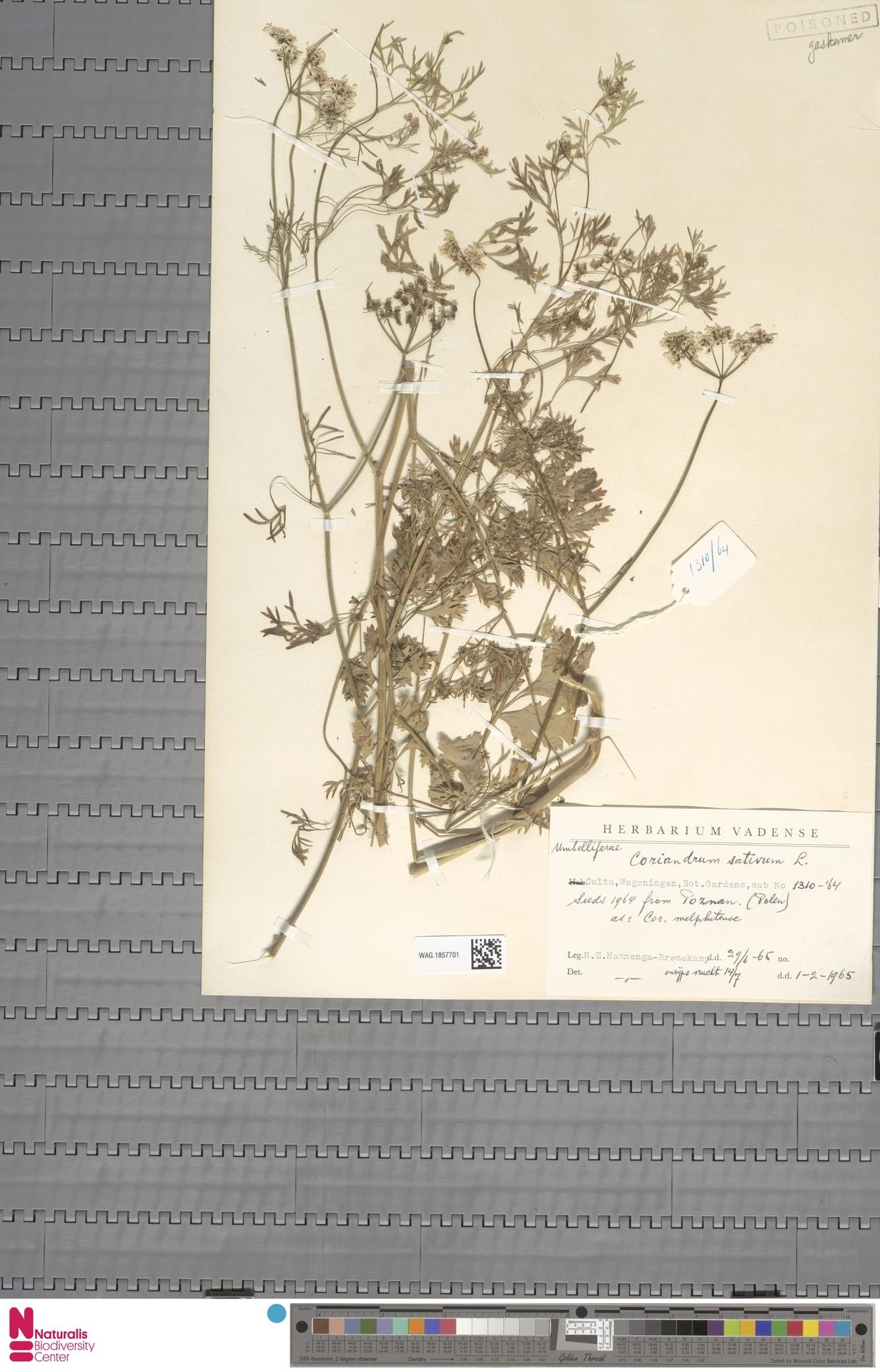 WAG.1857701 | Coriandrum sativum L.