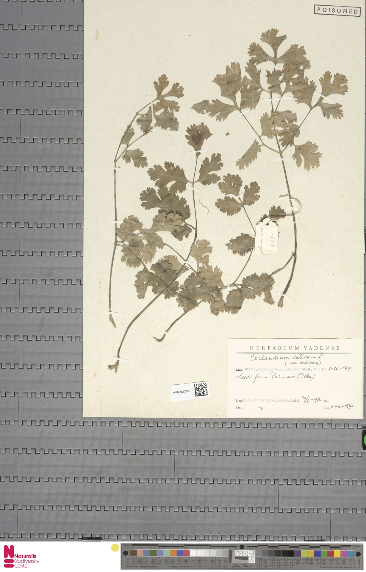 WAG.1857705   Coriandrum sativum L.