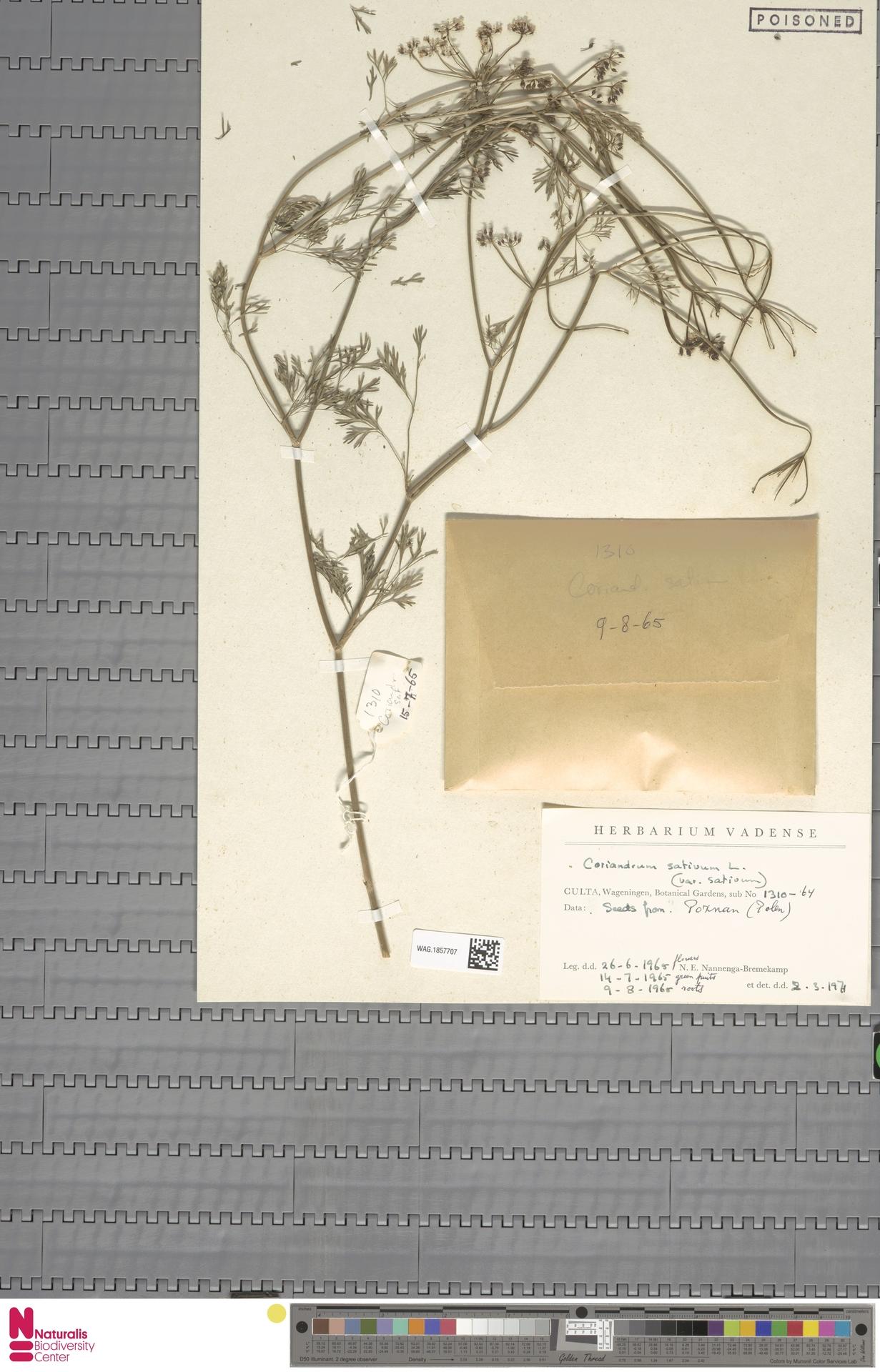 WAG.1857707 | Coriandrum sativum L.