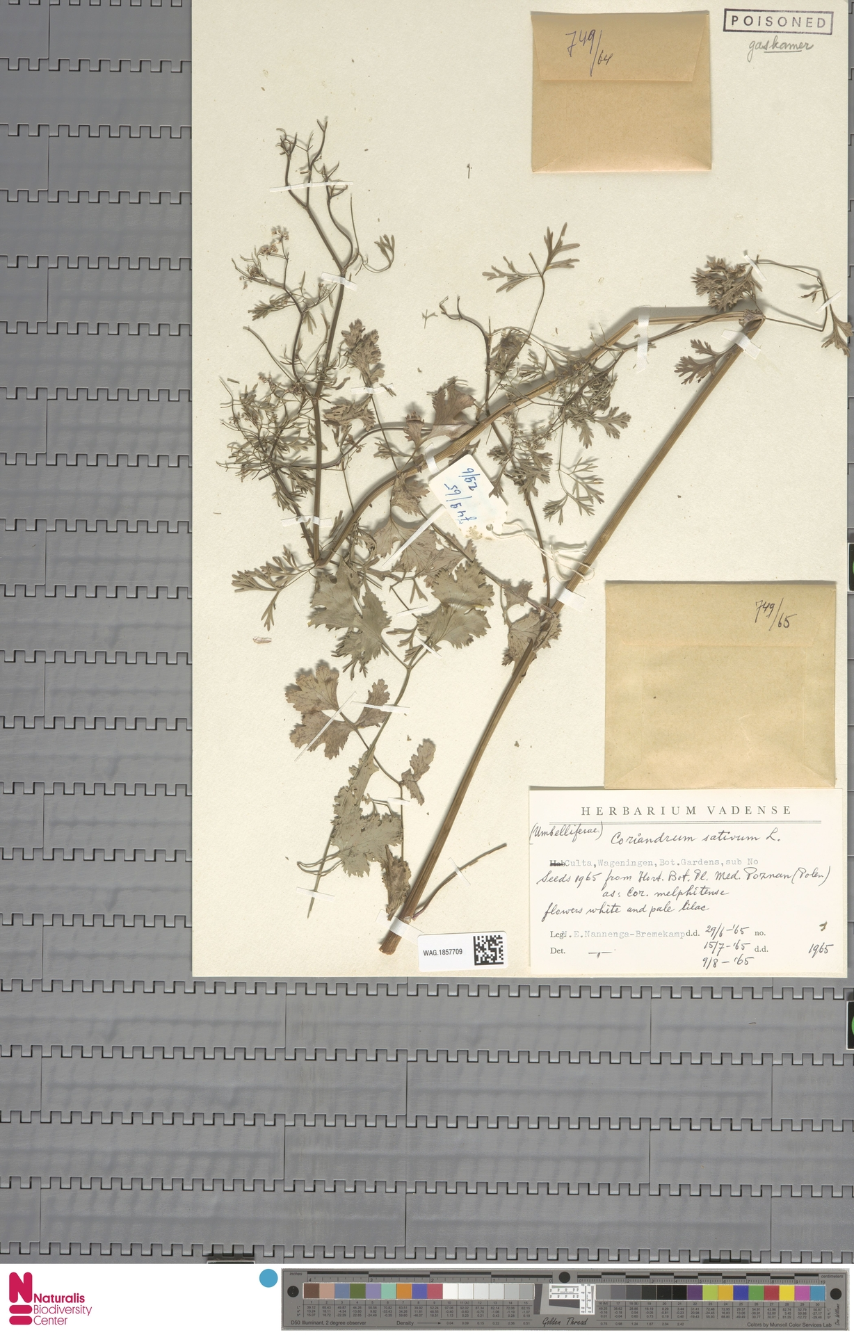 WAG.1857709 | Coriandrum sativum L.