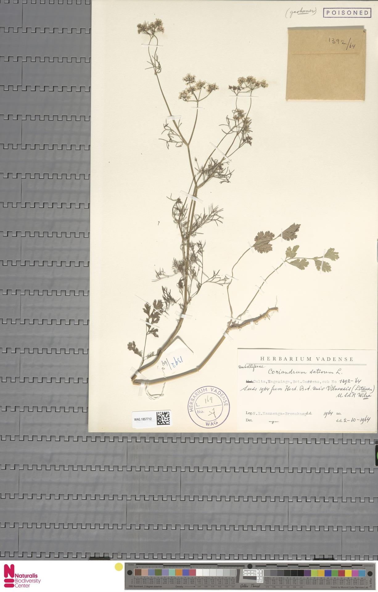WAG.1857712 | Coriandrum sativum L.