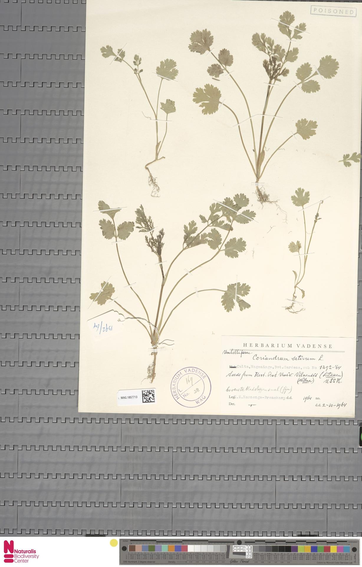 WAG.1857713 | Coriandrum sativum L.