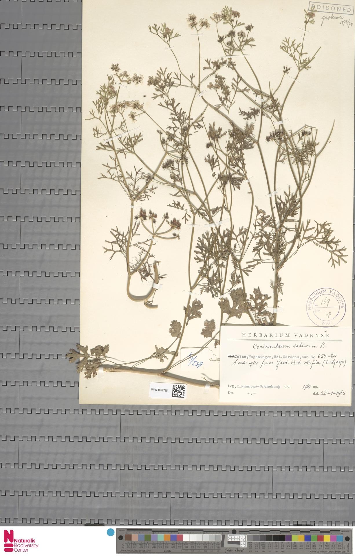WAG.1857715 | Coriandrum sativum L.
