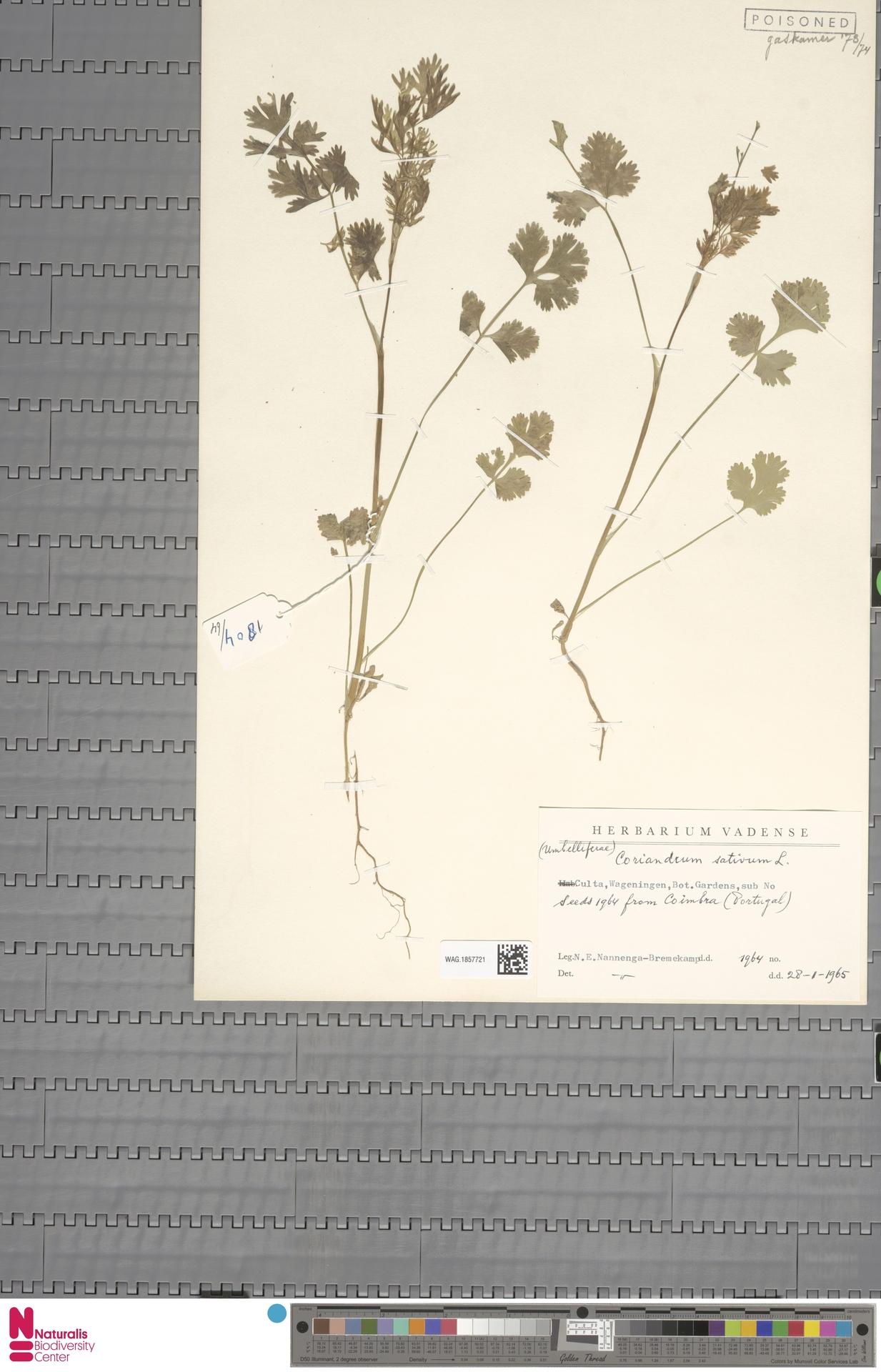 WAG.1857721 | Coriandrum sativum L.