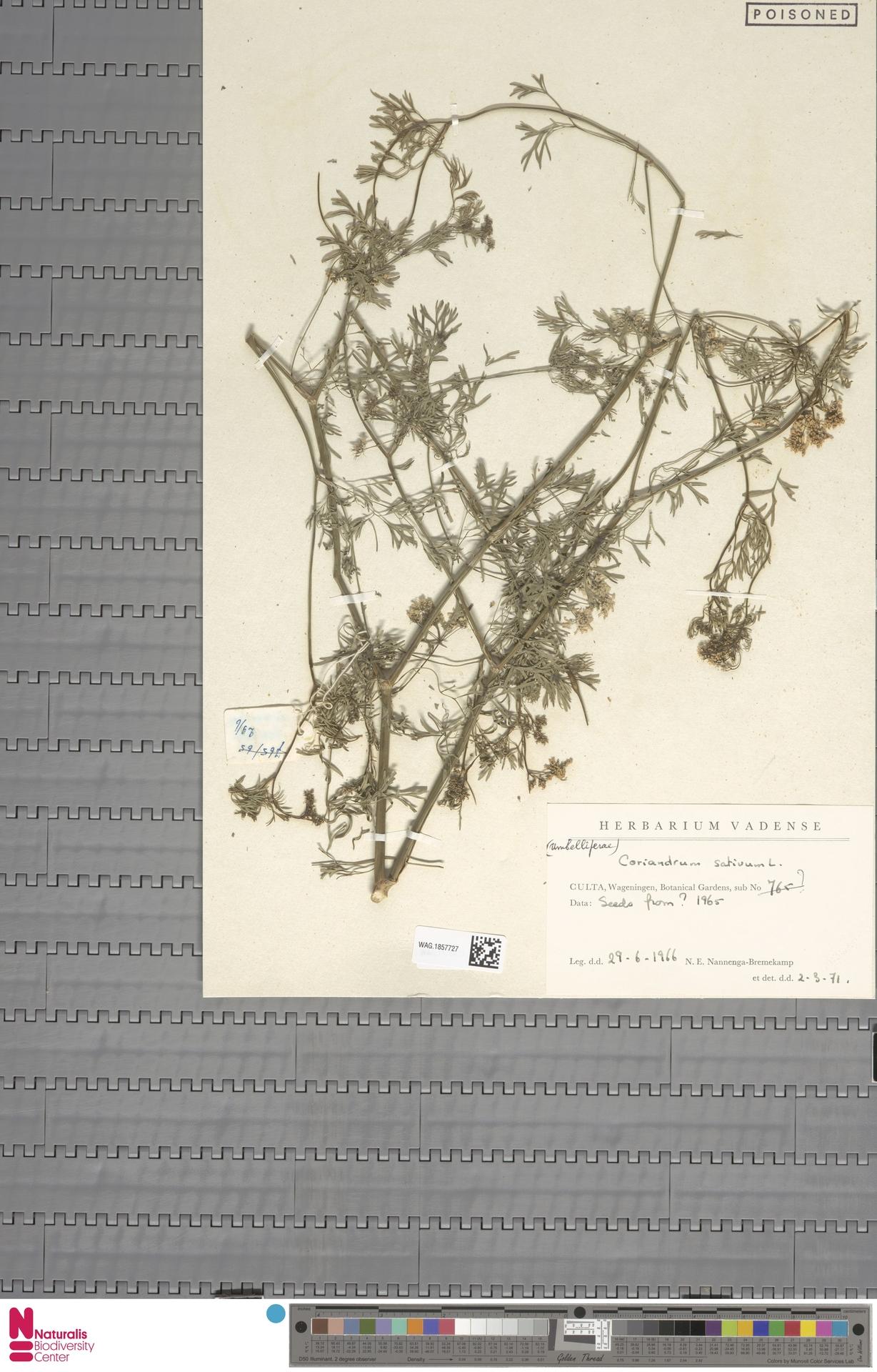 WAG.1857727 | Coriandrum sativum L.