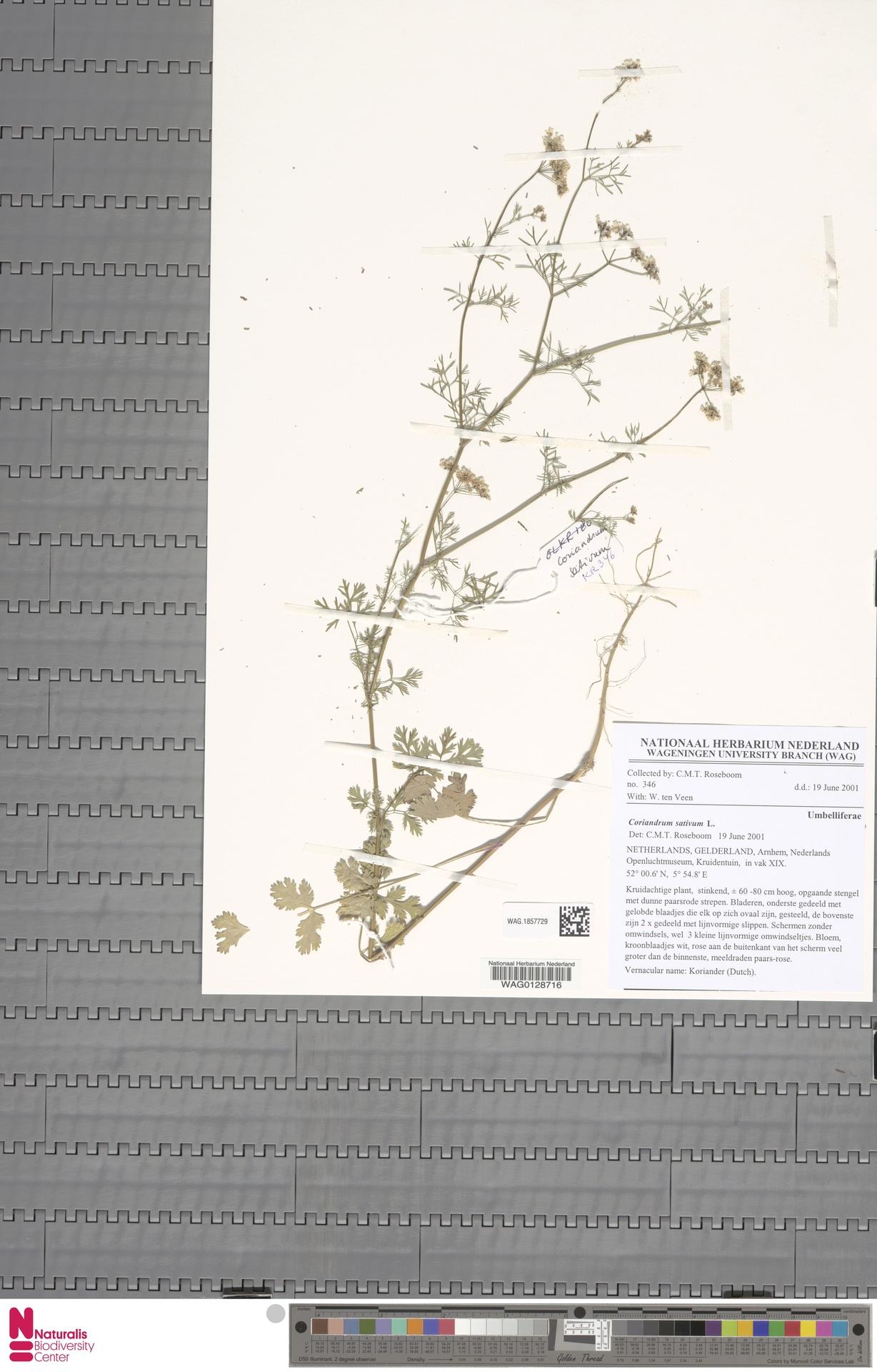 WAG.1857729 | Coriandrum sativum L.