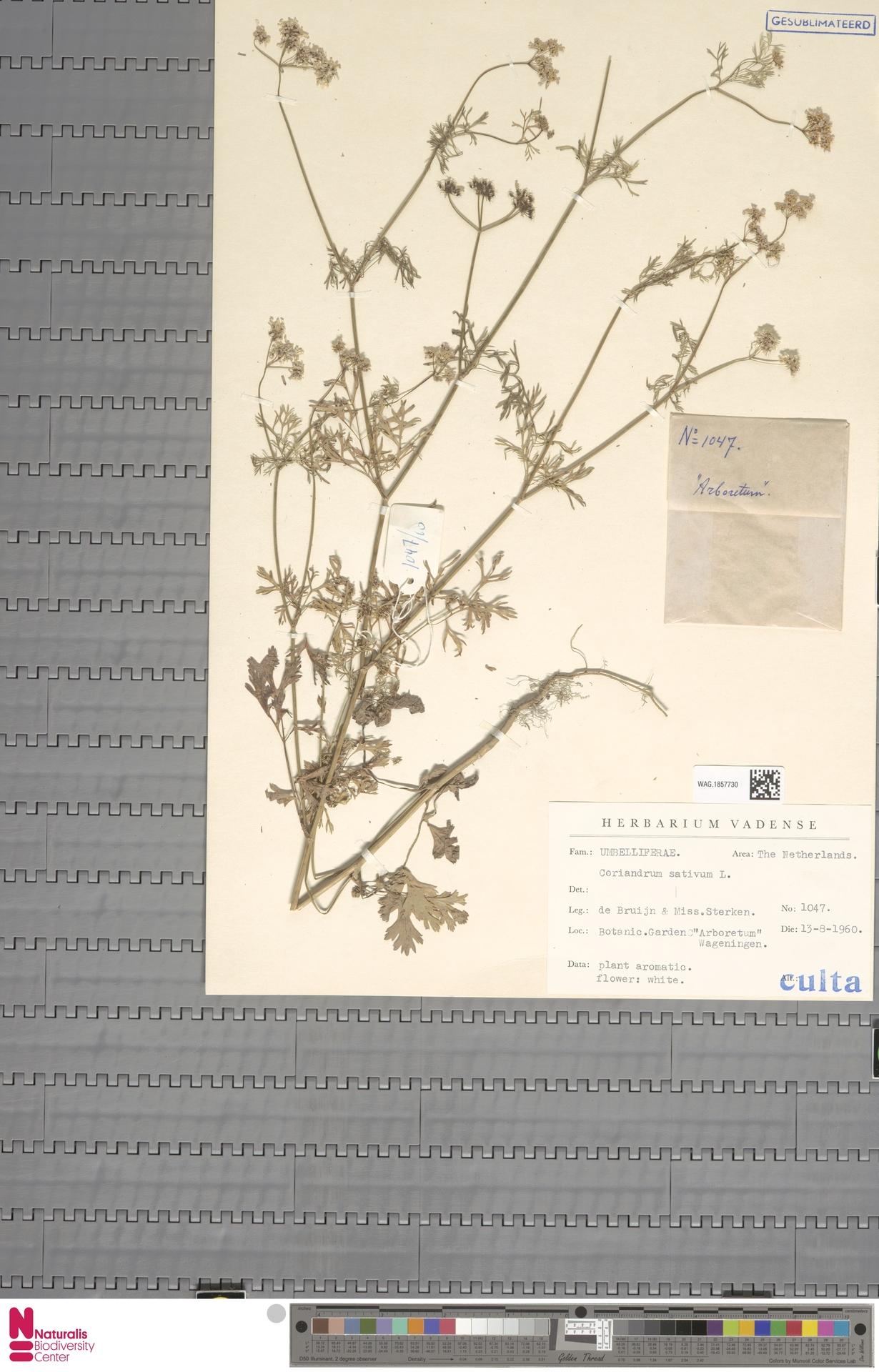 WAG.1857730 | Coriandrum sativum L.
