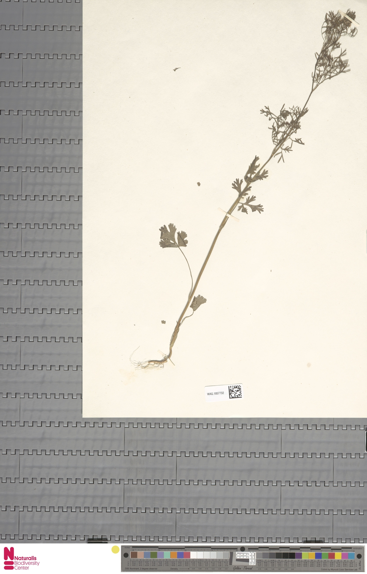 WAG.1857732   Coriandrum sativum L.