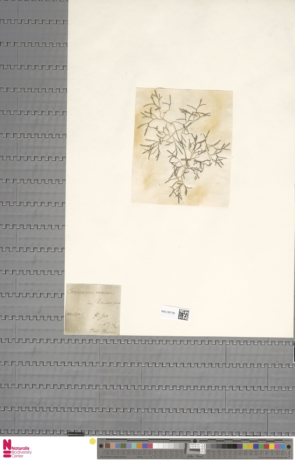 WAG.1857739 | Coriandrum sativum L.