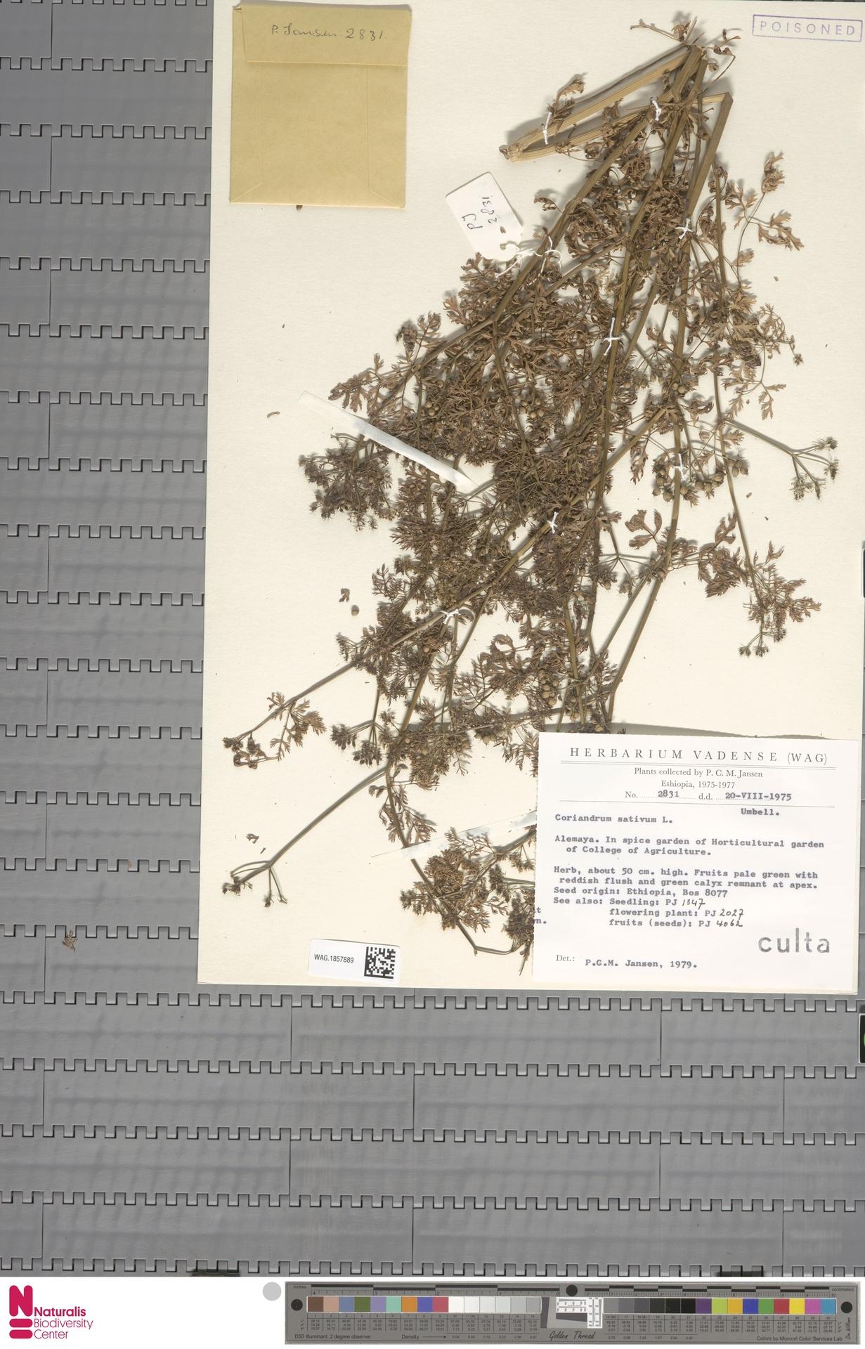 WAG.1857889 | Coriandrum sativum L.