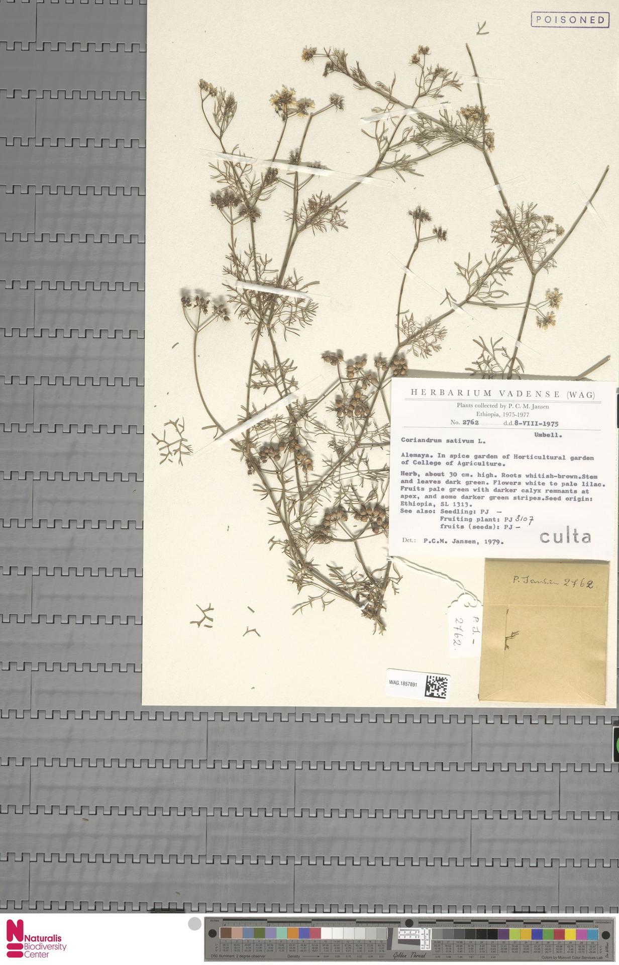 WAG.1857891 | Coriandrum sativum L.