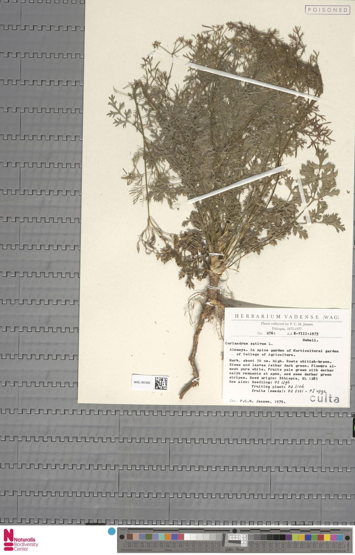 WAG.1857892 | Coriandrum sativum L.