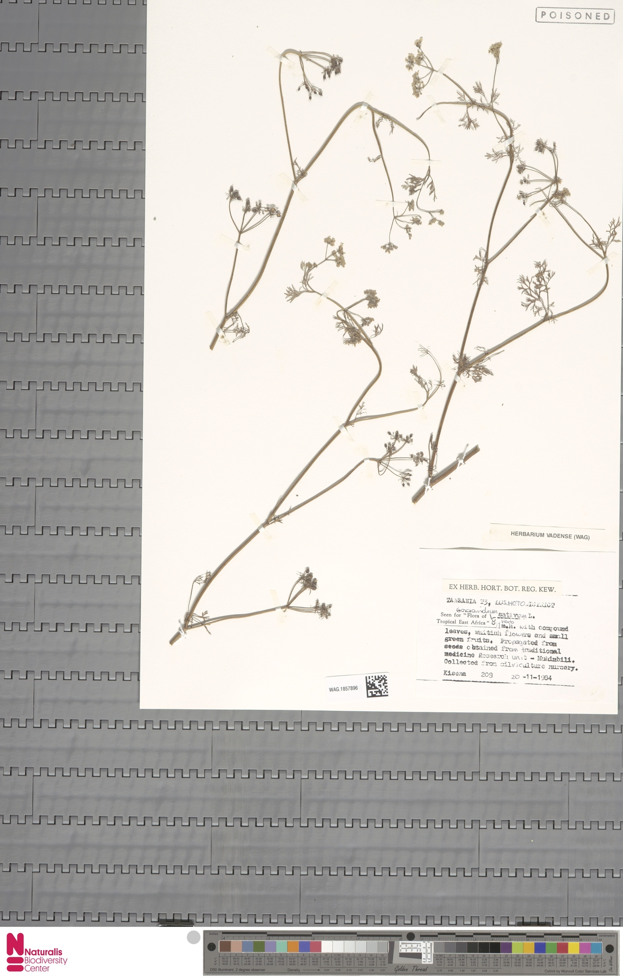 WAG.1857896 | Coriandrum sativum L.