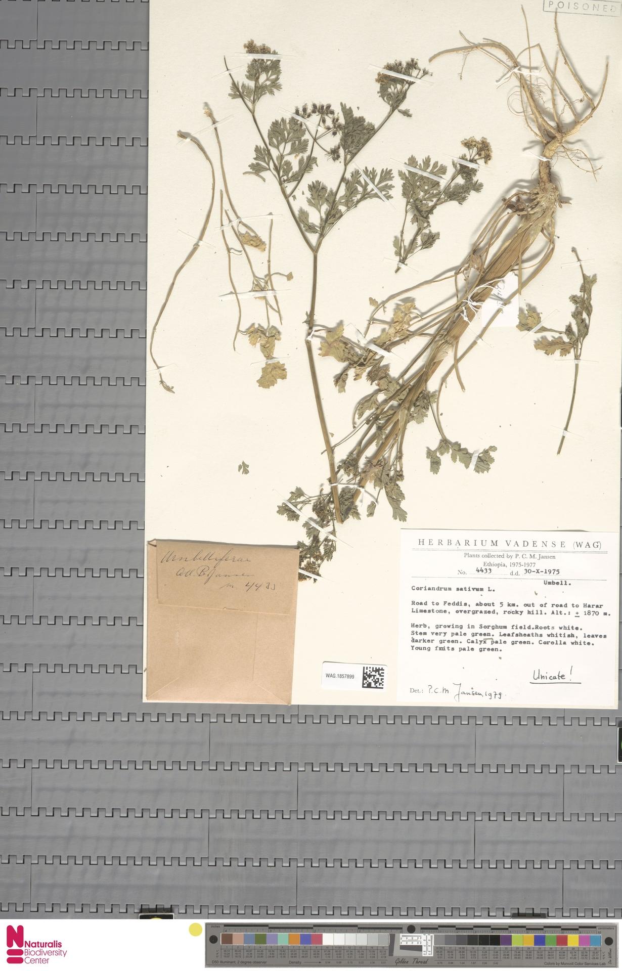 WAG.1857899 | Coriandrum sativum L.