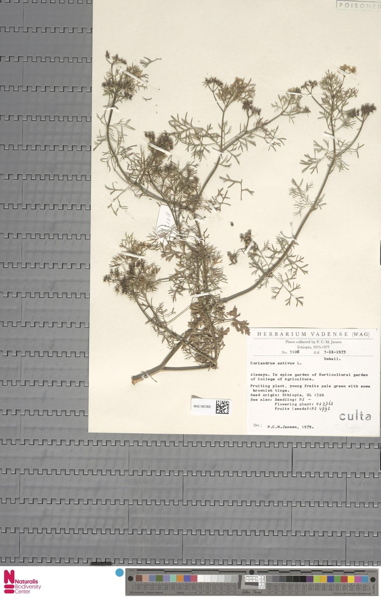WAG.1857902 | Coriandrum sativum L.