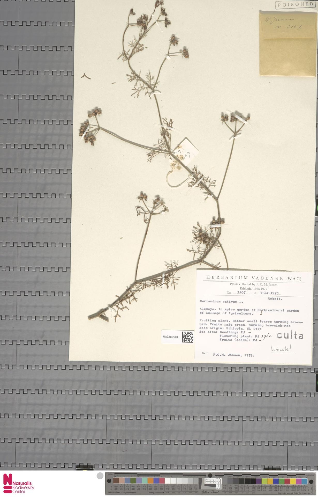 WAG.1857903 | Coriandrum sativum L.