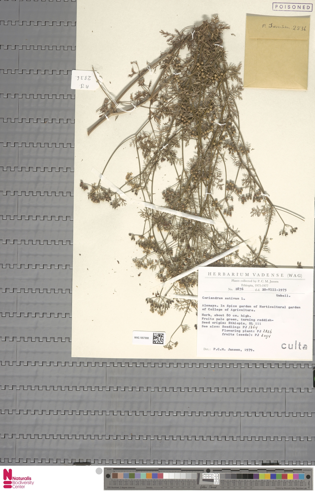WAG.1857908 | Coriandrum sativum L.