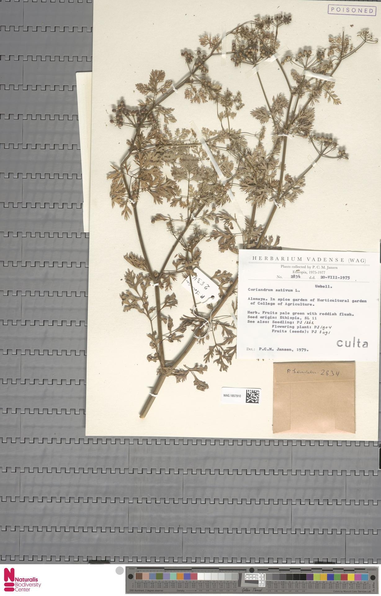 WAG.1857910 | Coriandrum sativum L.