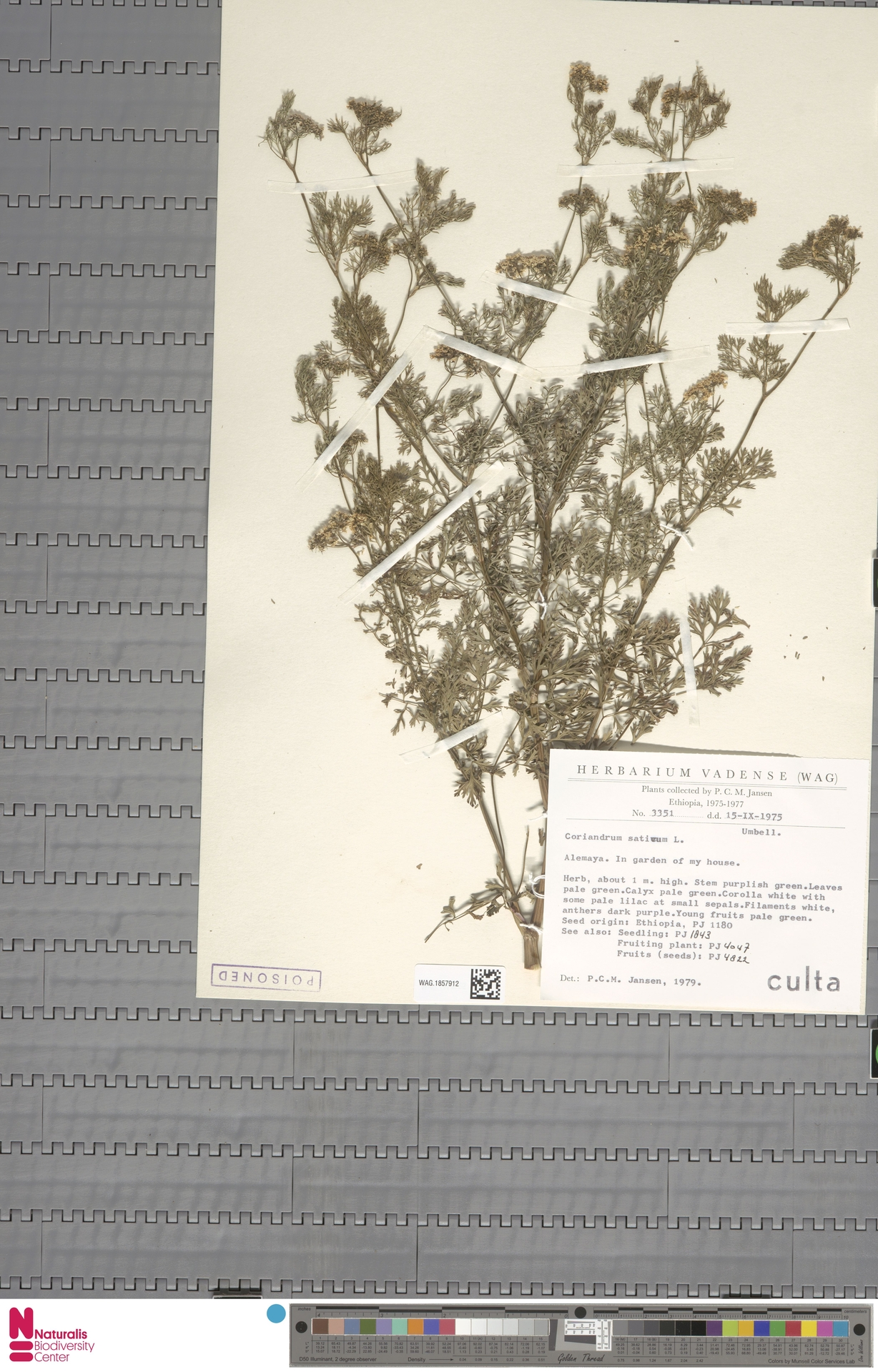 WAG.1857912 | Coriandrum sativum L.