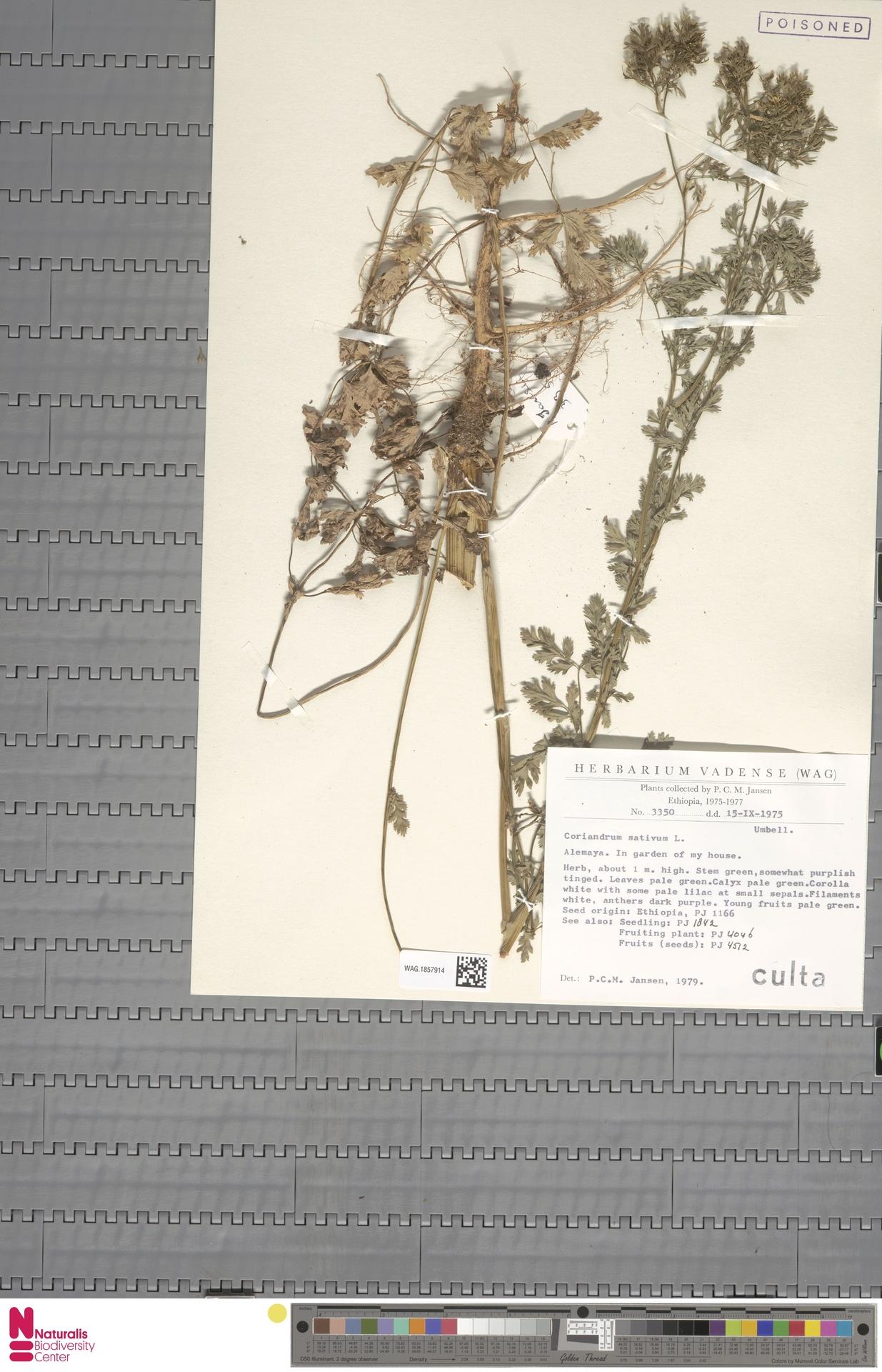 WAG.1857914   Coriandrum sativum L.