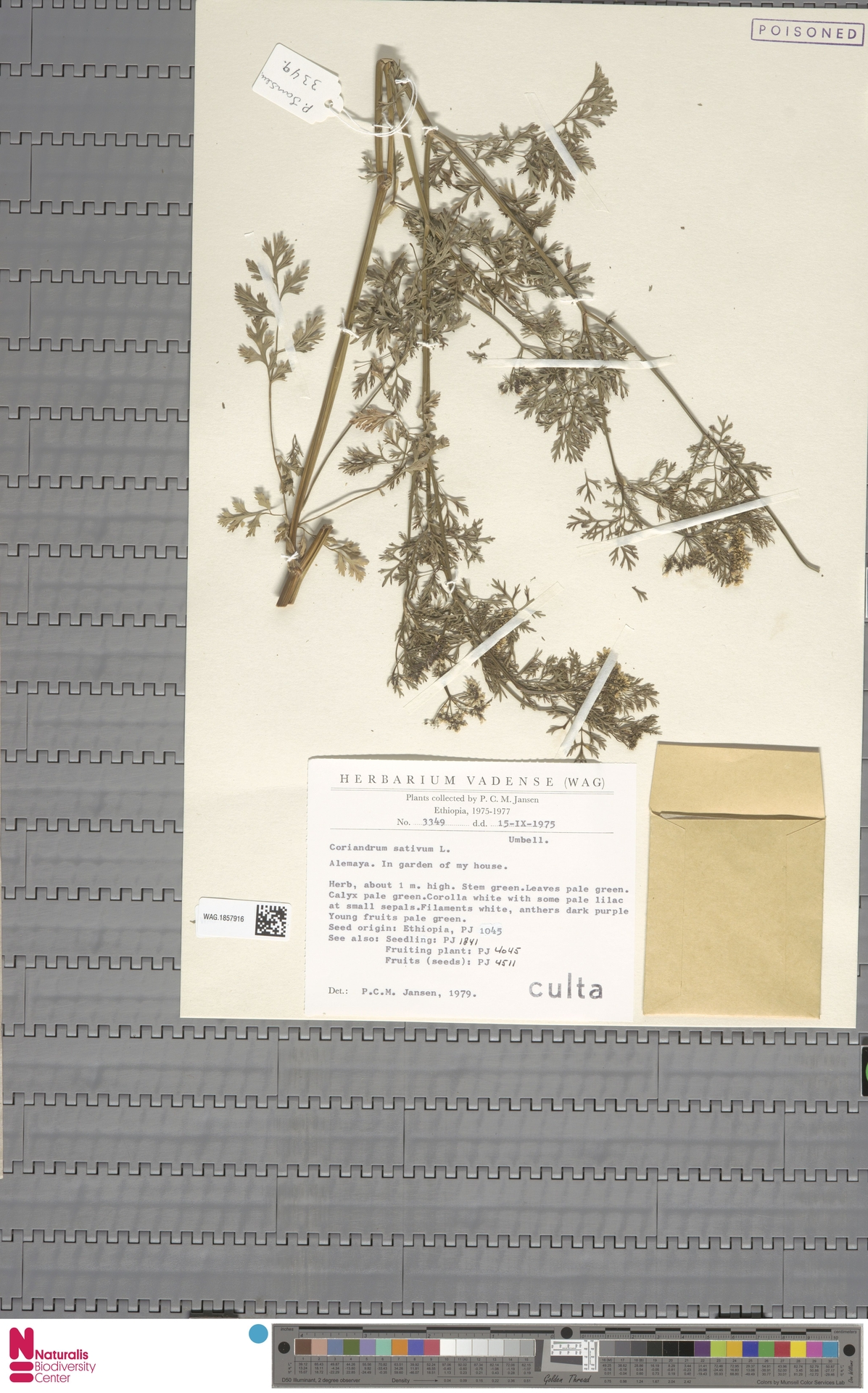 WAG.1857916 | Coriandrum sativum L.