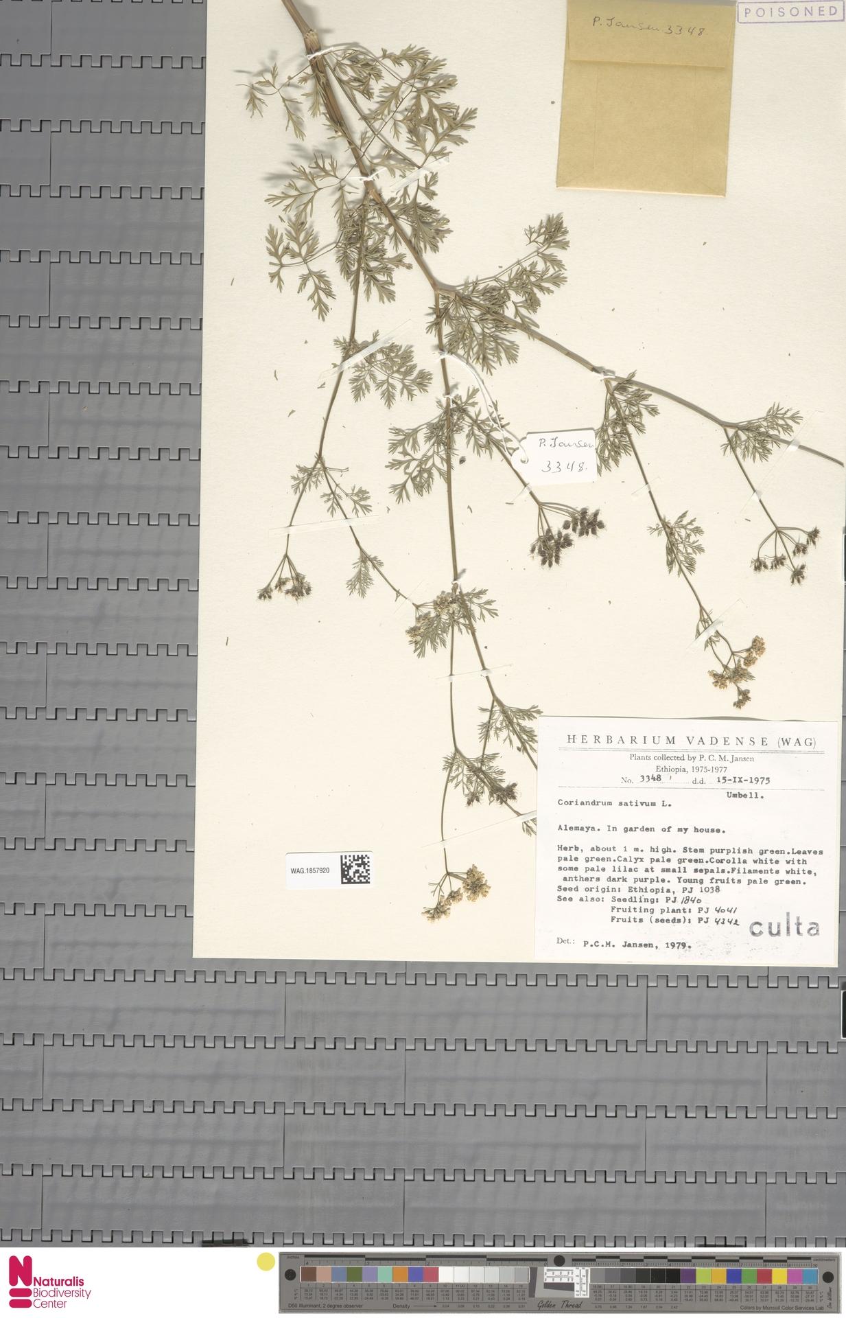 WAG.1857920   Coriandrum sativum L.