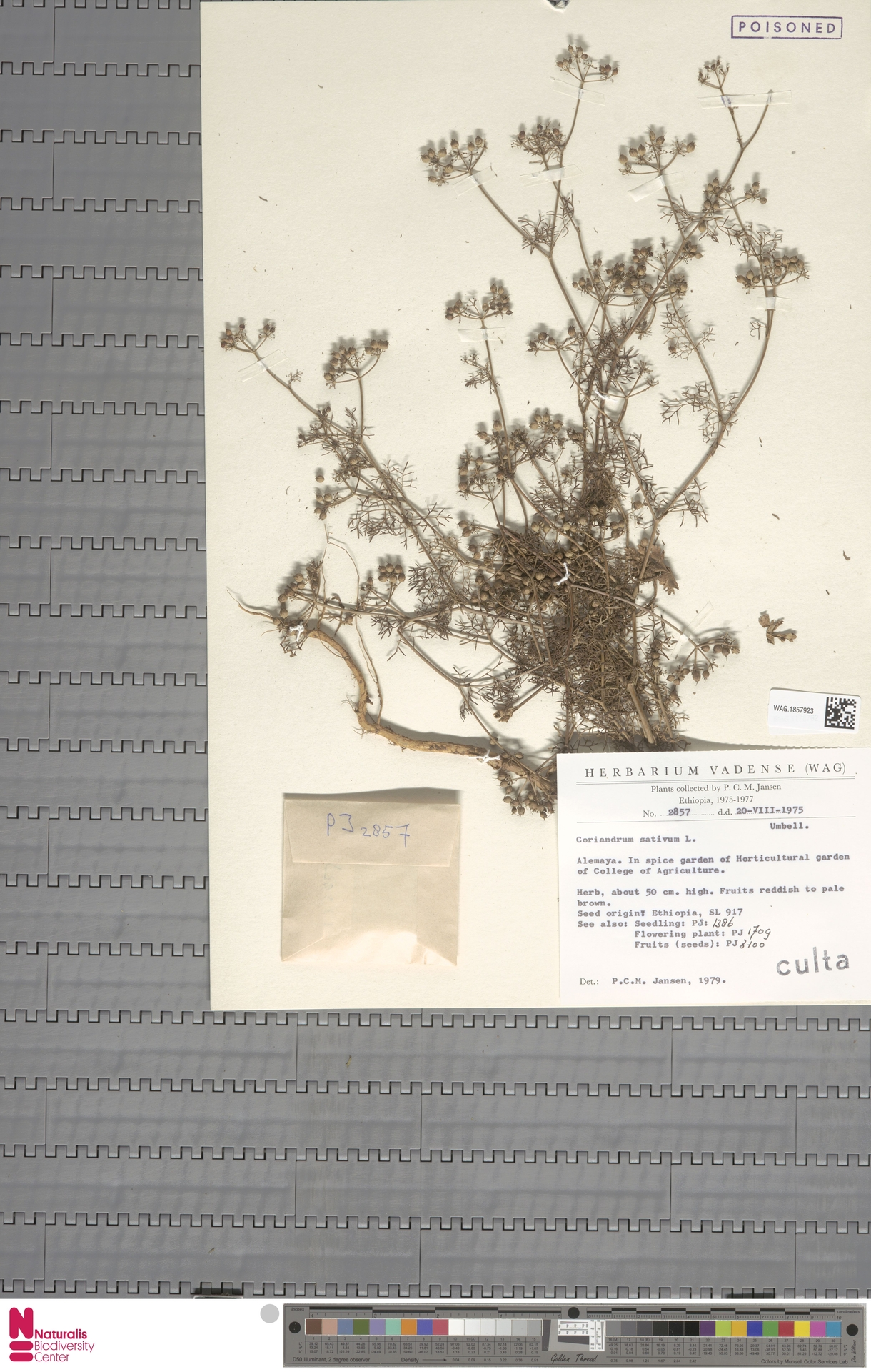 WAG.1857923   Coriandrum sativum L.