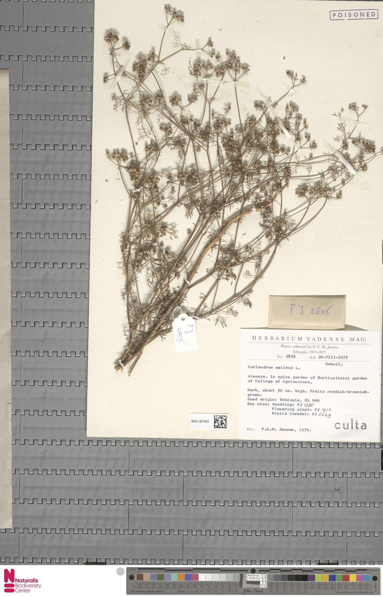 WAG.1857924 | Coriandrum sativum L.